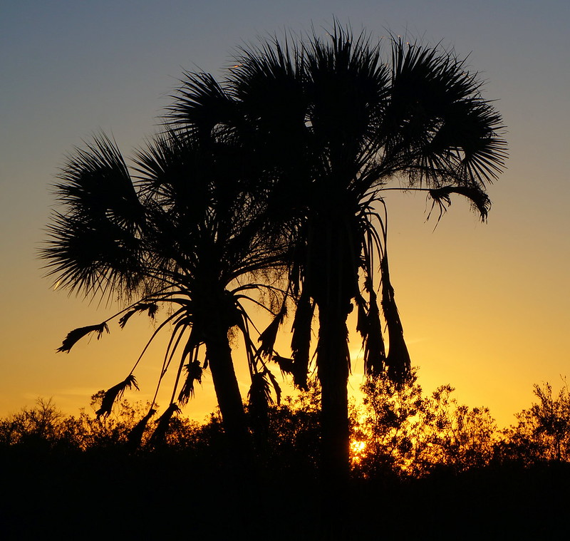 Sabal Palms at Sunset Big Cyrpress National Preserve