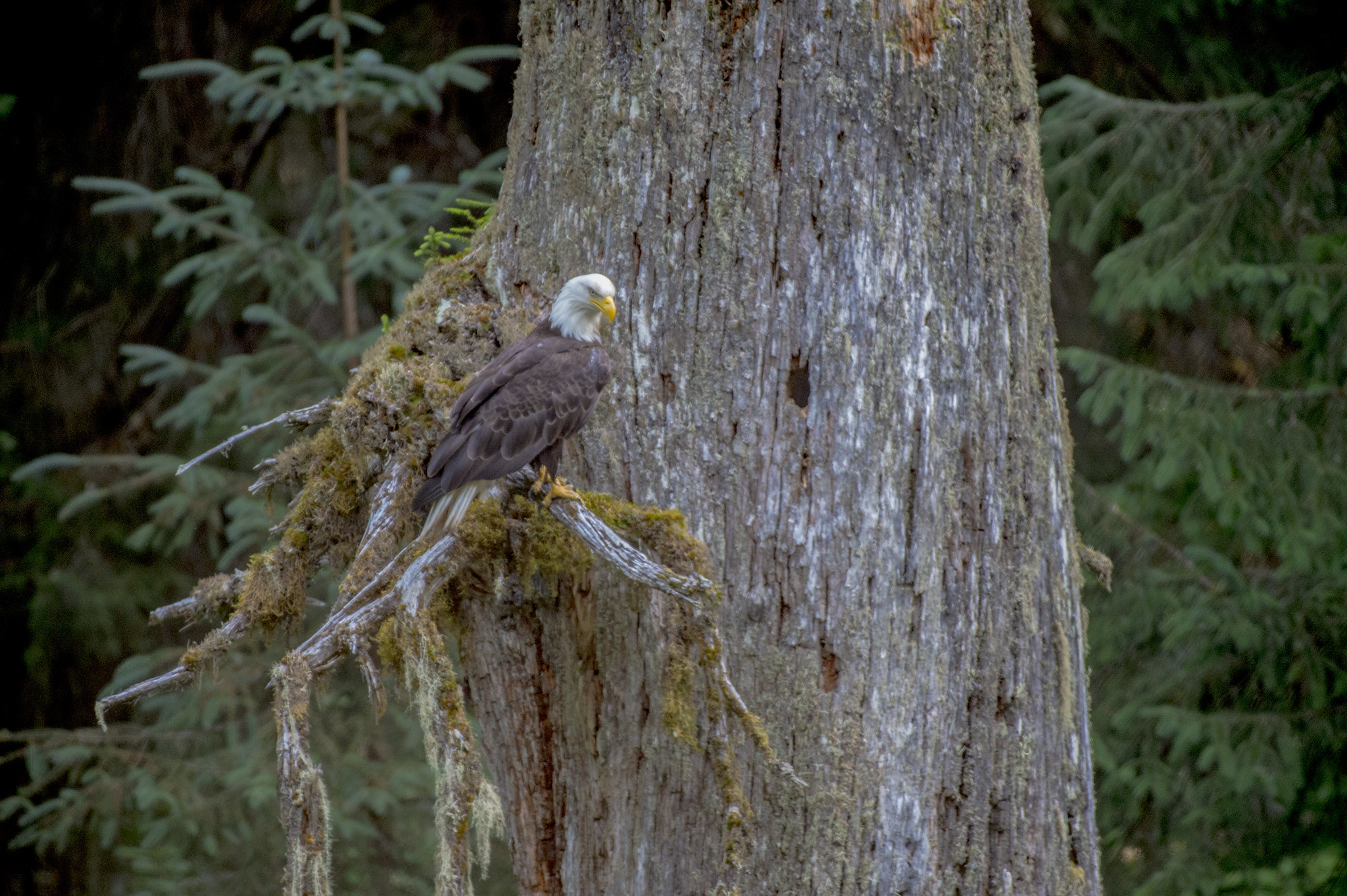 A bald eagle perched in a tree above Fish Creek in Hyder, Alaska
