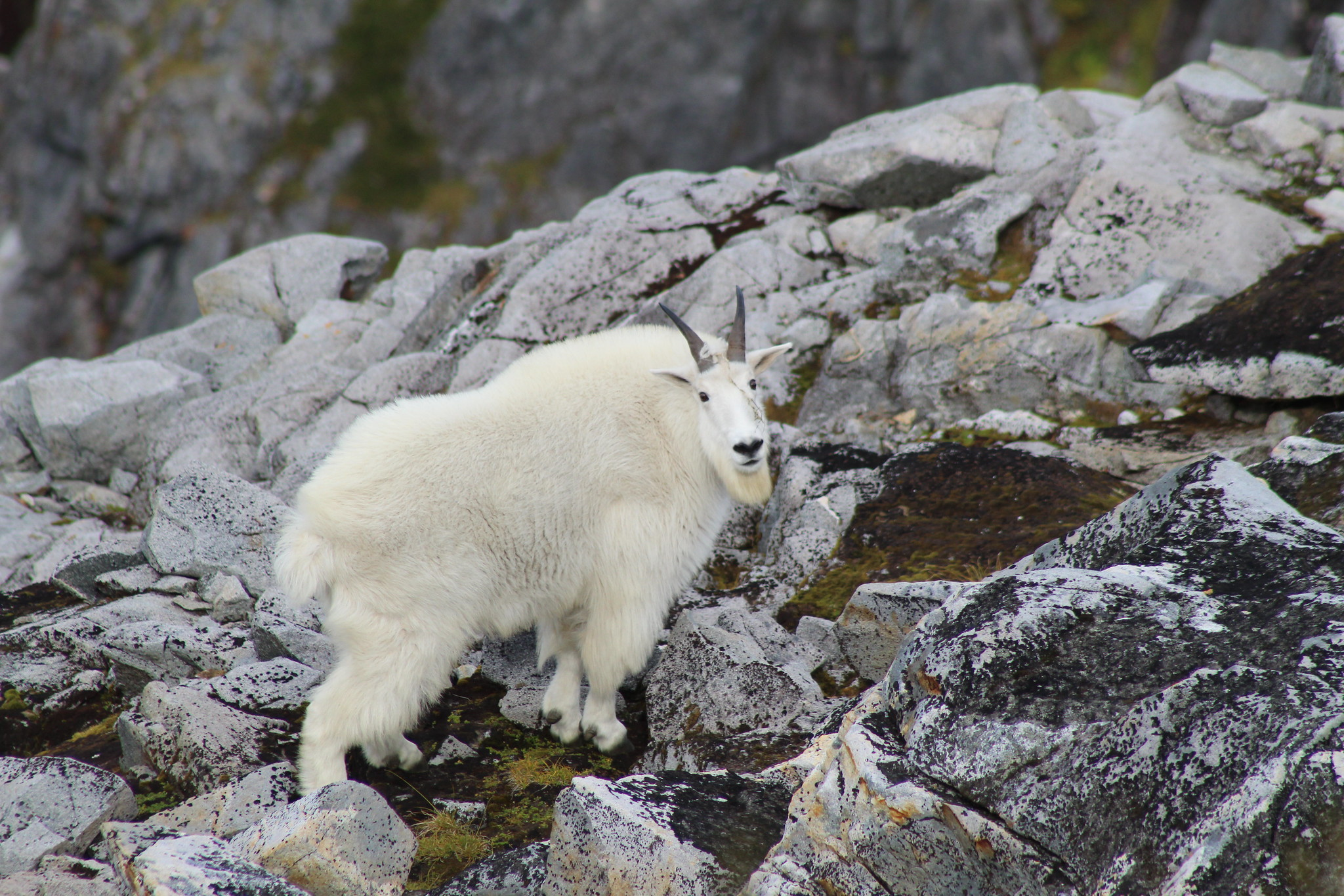 A mountain goat (Oreamnos americanus) near the summit of Northbird Mountain, Revilla Island. Tongass National Forest, Ketchikan Misty Fjords Ranger District, September 2018.
