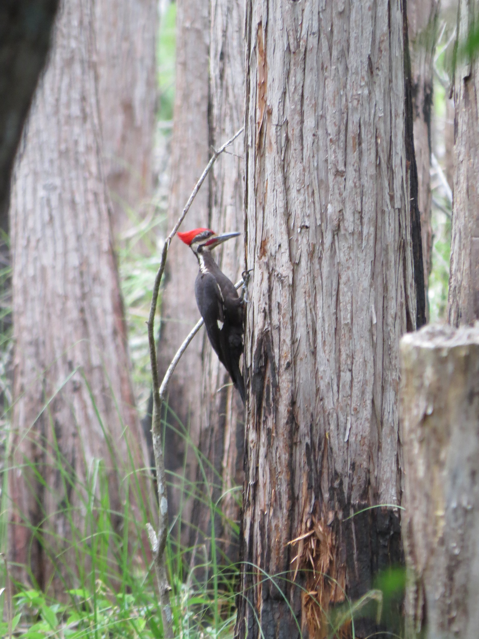 A pileated woodpecker in Okefenokee NWR
