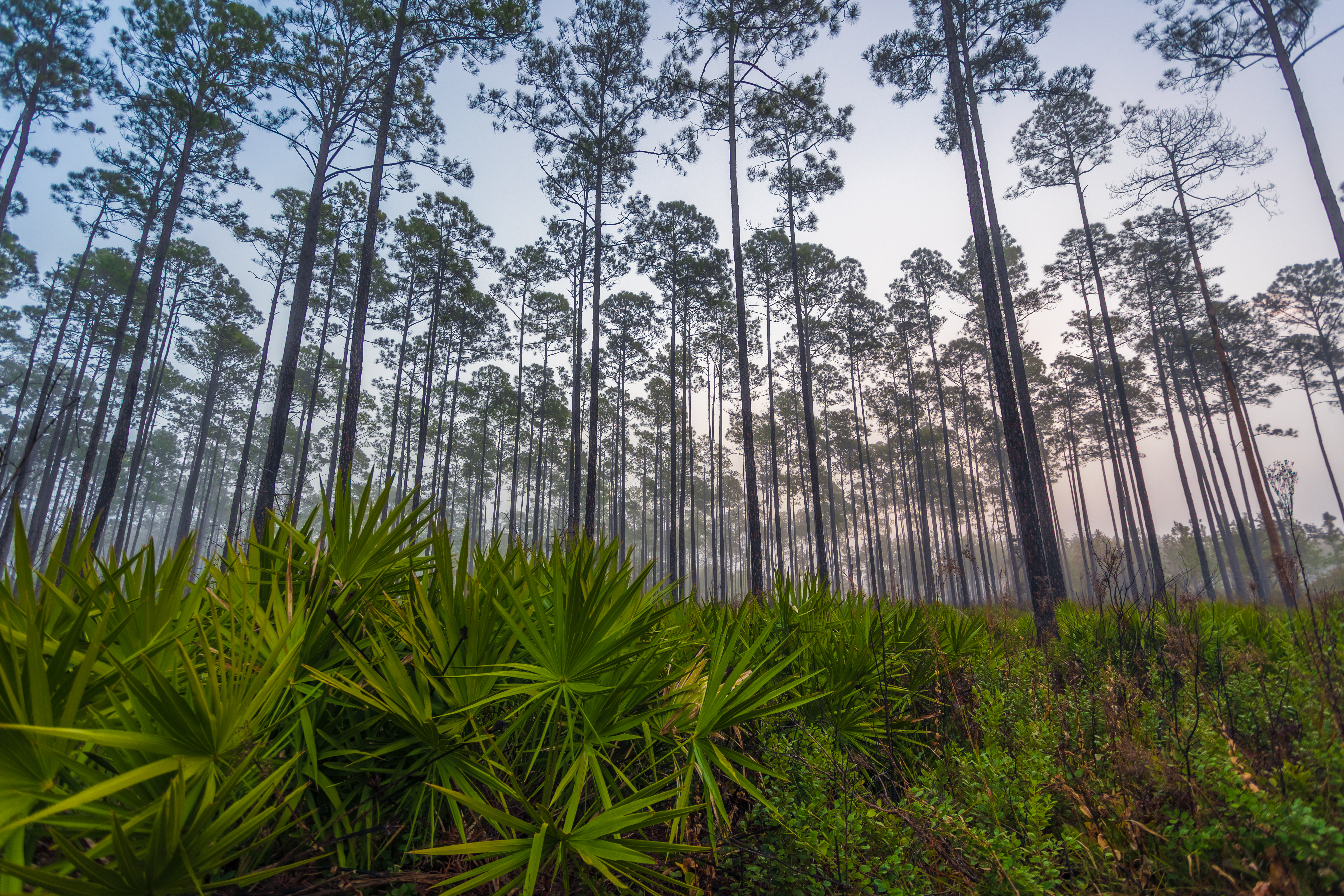 Saw palmetto Okefenokee NWR