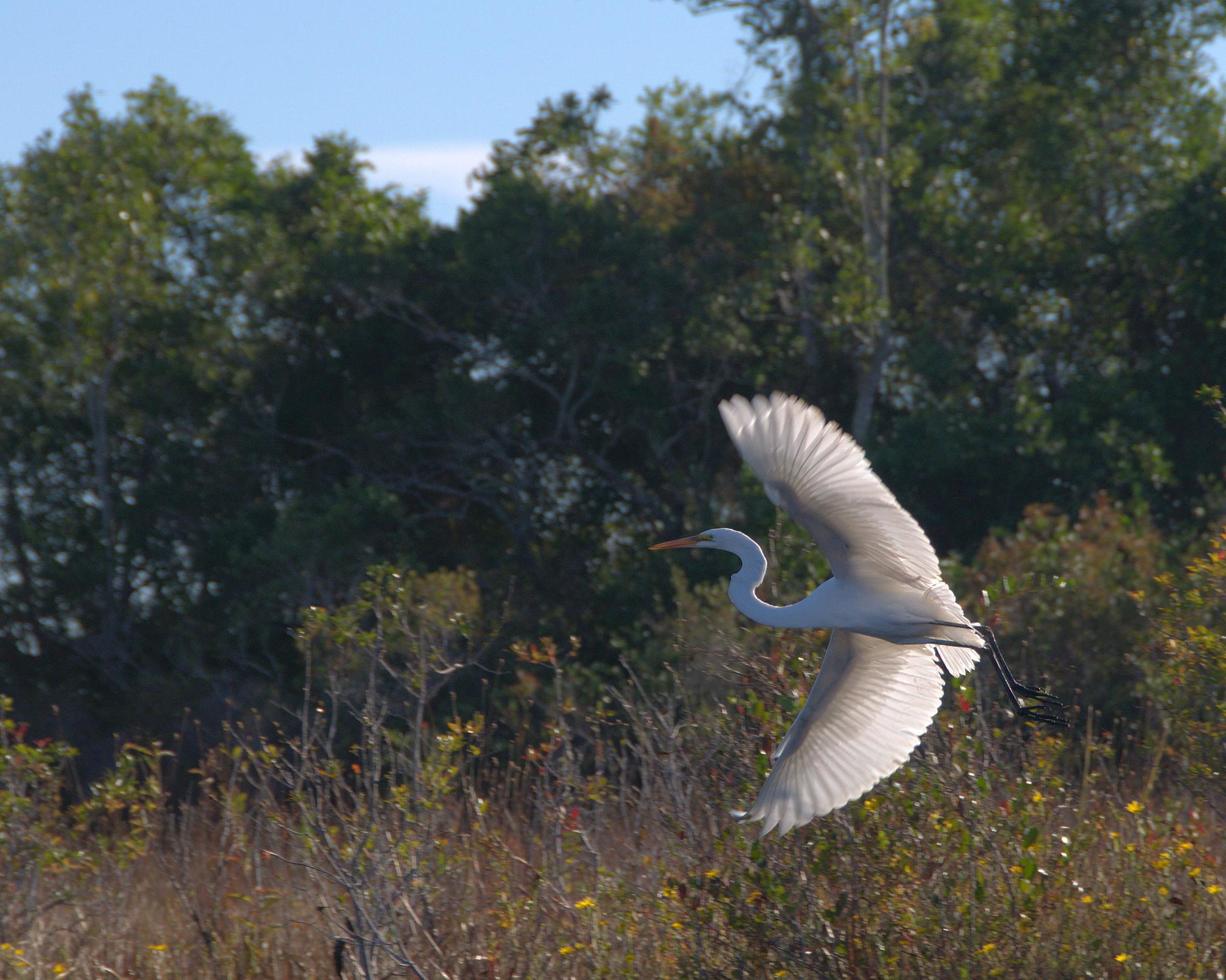 Great Egret in flight in Okefenokee NWR