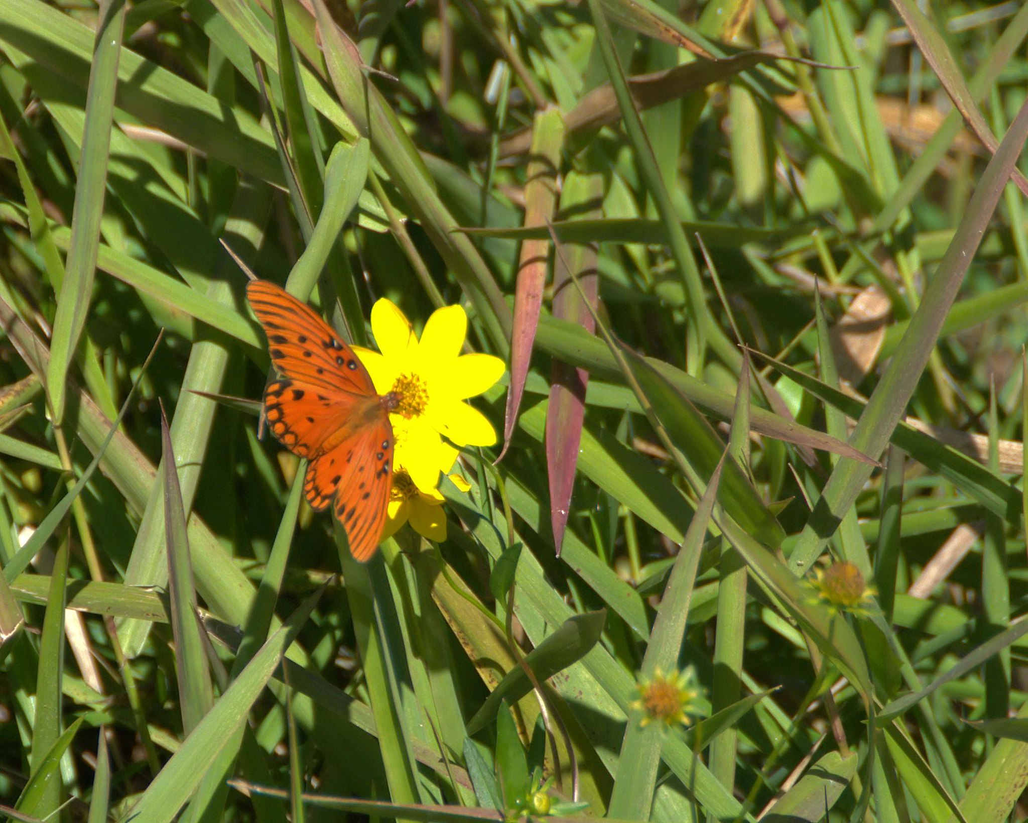 Butterfly on a flower in Okefenokee NWR