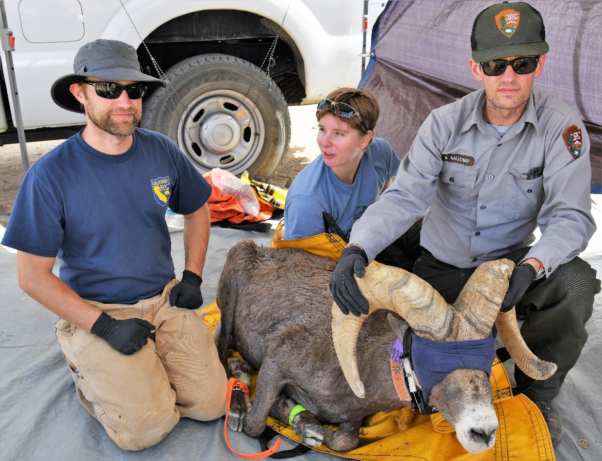Captured Desert bighorn sheep are processed both carefully and quickly by an experienced team of agency personnel and trained volunteers.