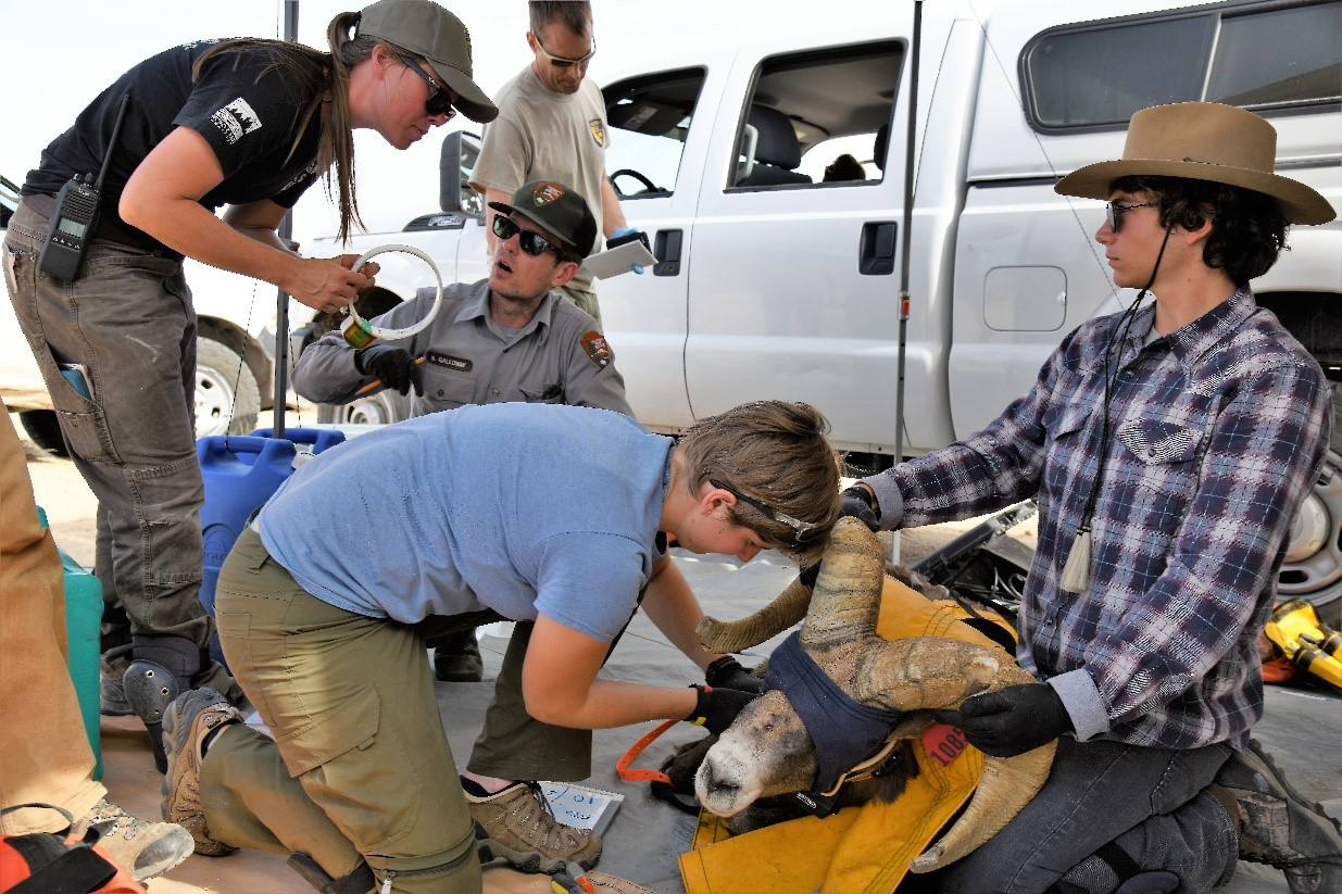 Captured Desert bighorn sheep are processed both carefully and quickly by an experienced team of agency personnel and trained volunteers