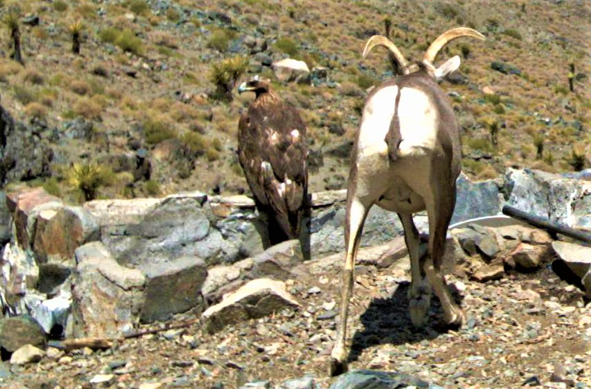 Desert bighorn sheep ewe and golden eagle at water drinker in the Ord Mountains, California