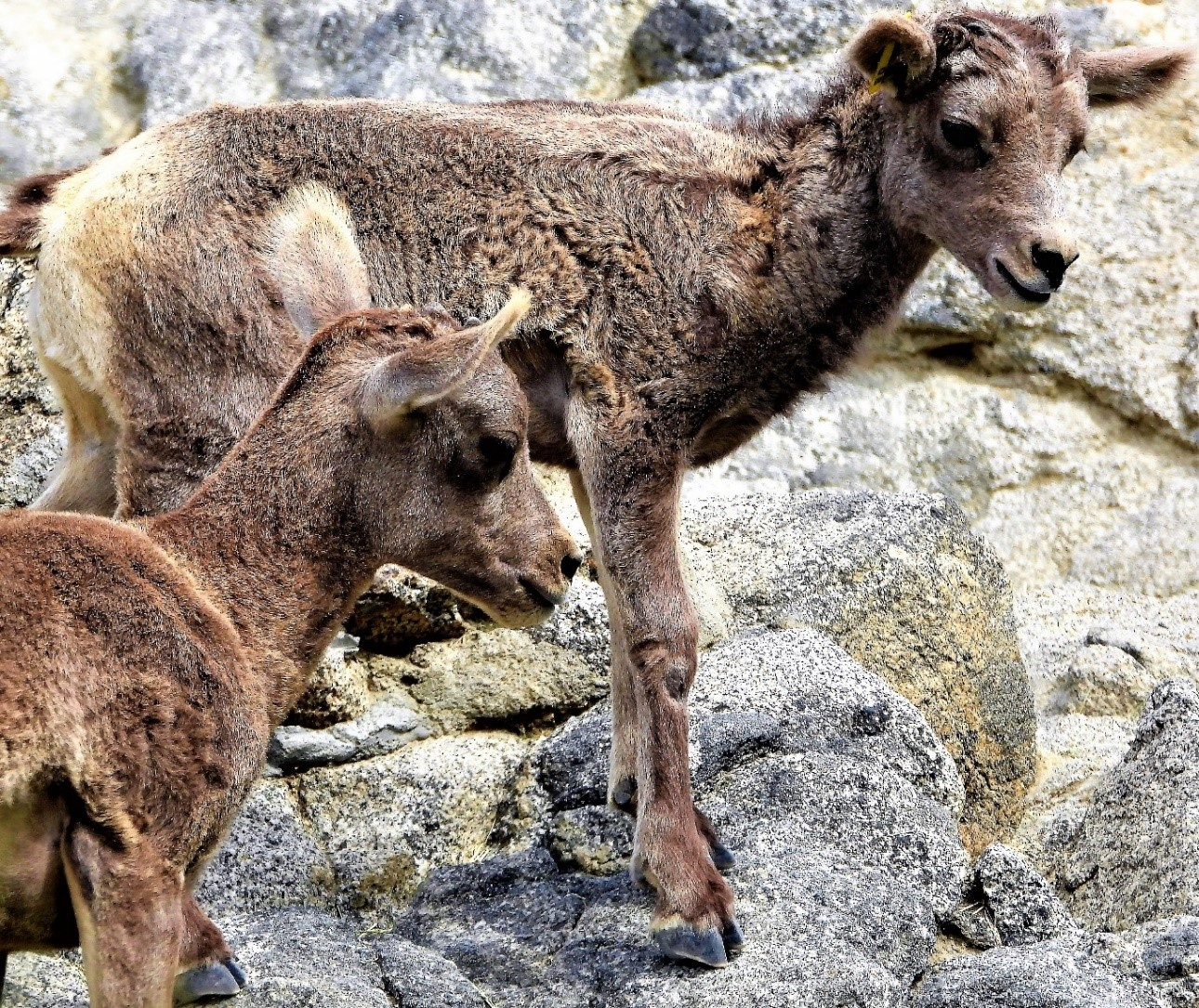 Endangered Peninsular bighorn sheep lambs.
