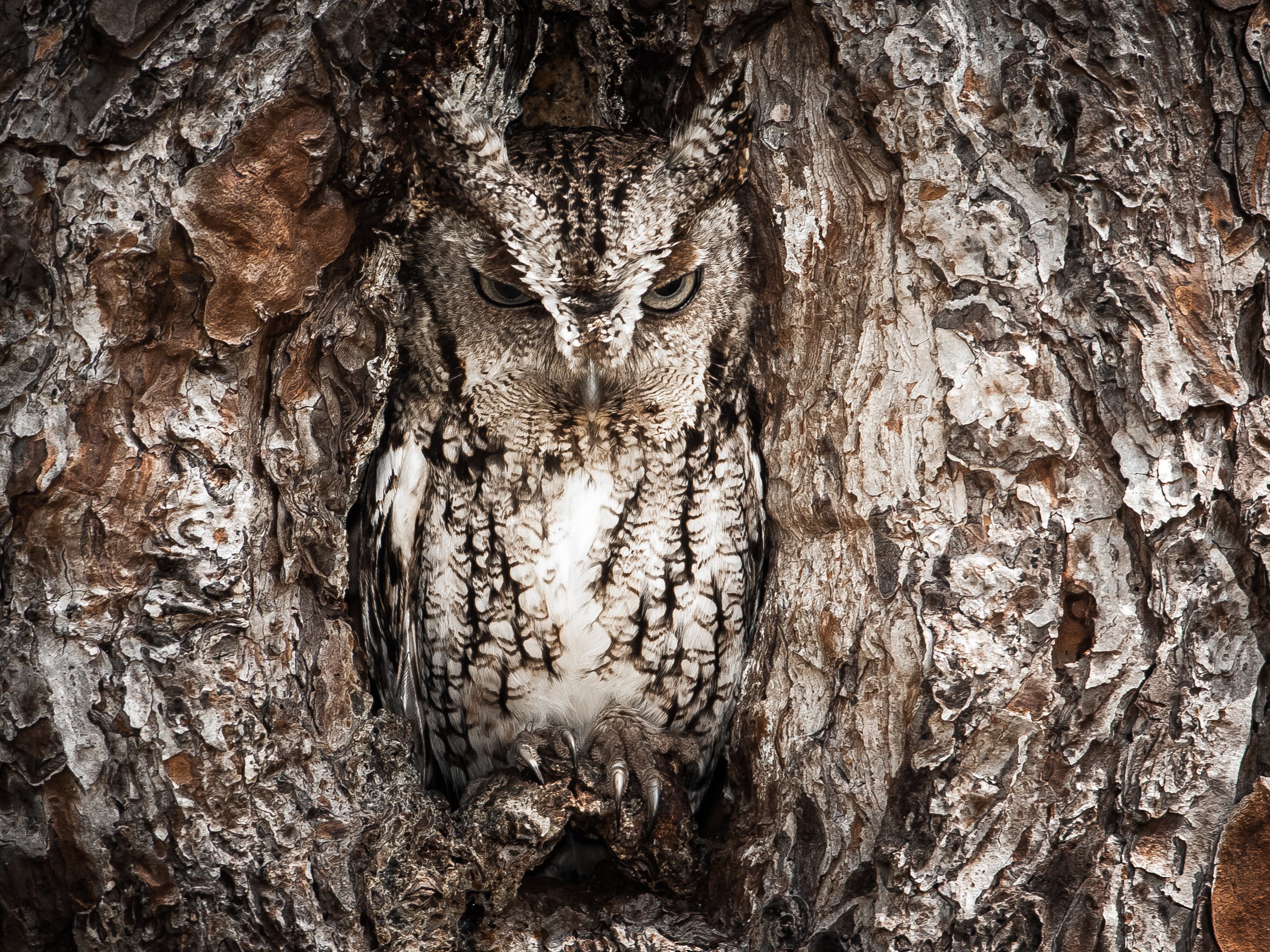 Eastern screech owl hiding in a tree