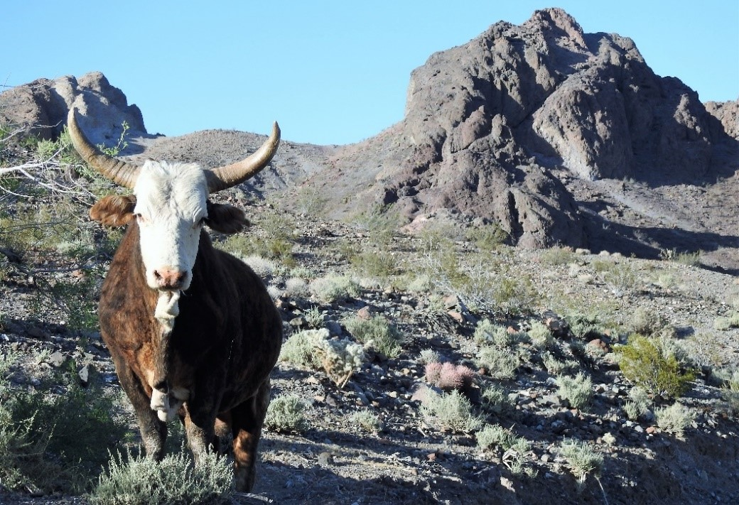 Ord Mountain Cattle Allotment of the California Desert