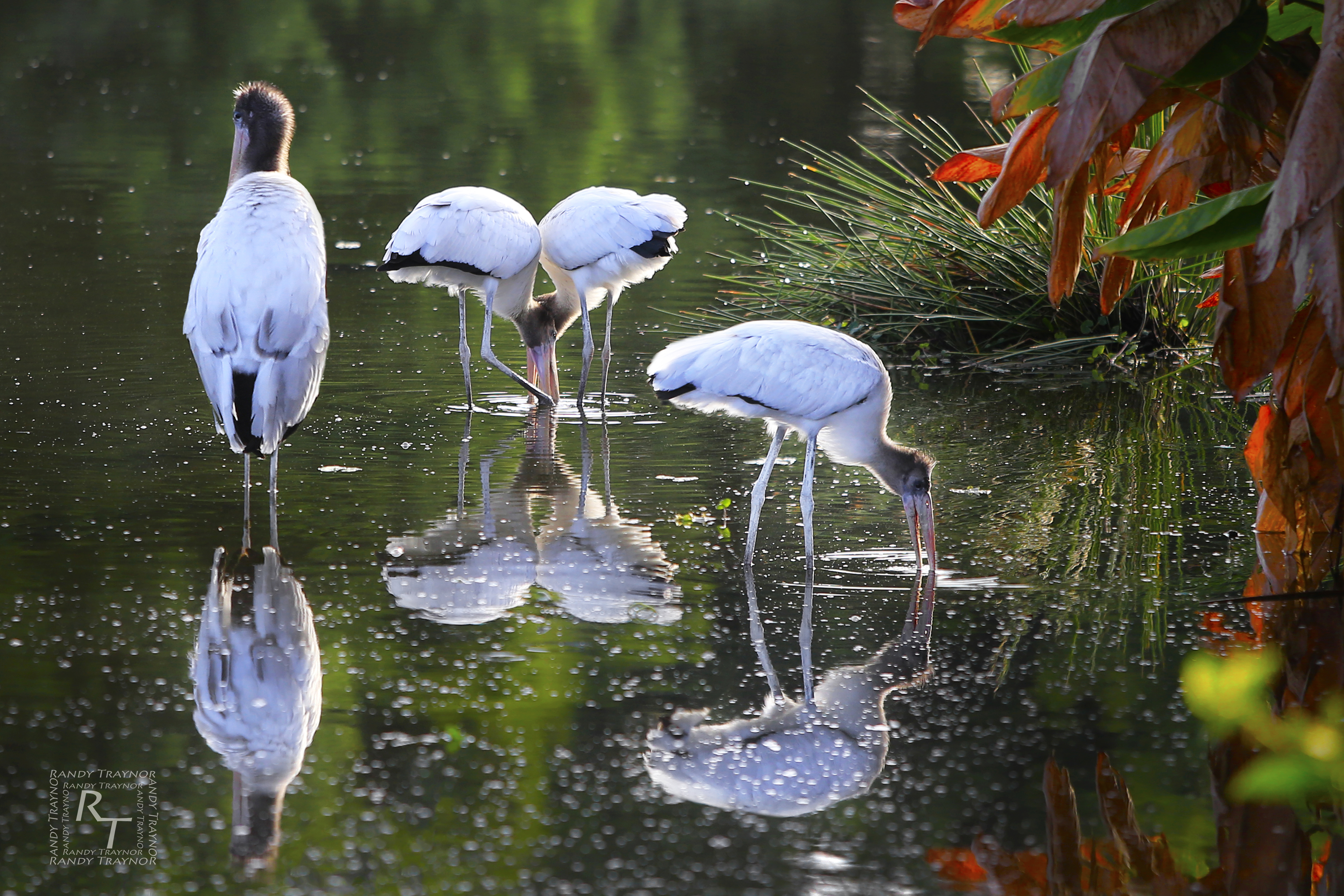 Wood storks in water