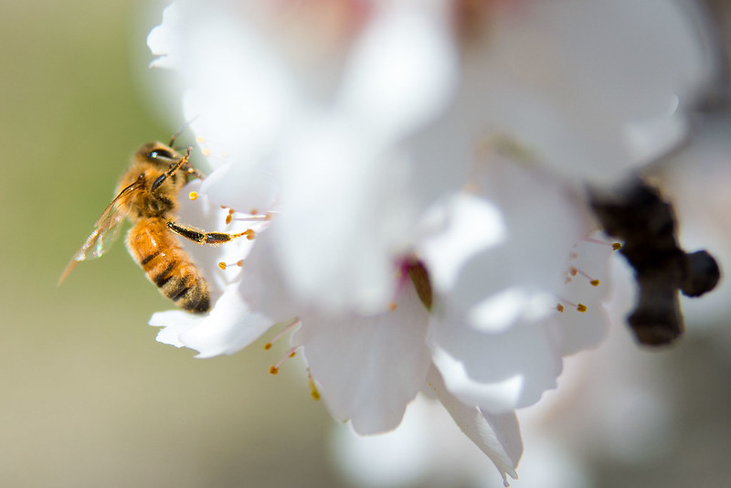 A bee pollinates an blossom in the almond orchard on Paramount Farms in McFarland, CA on Tuesday, Feb. 25, 2014
