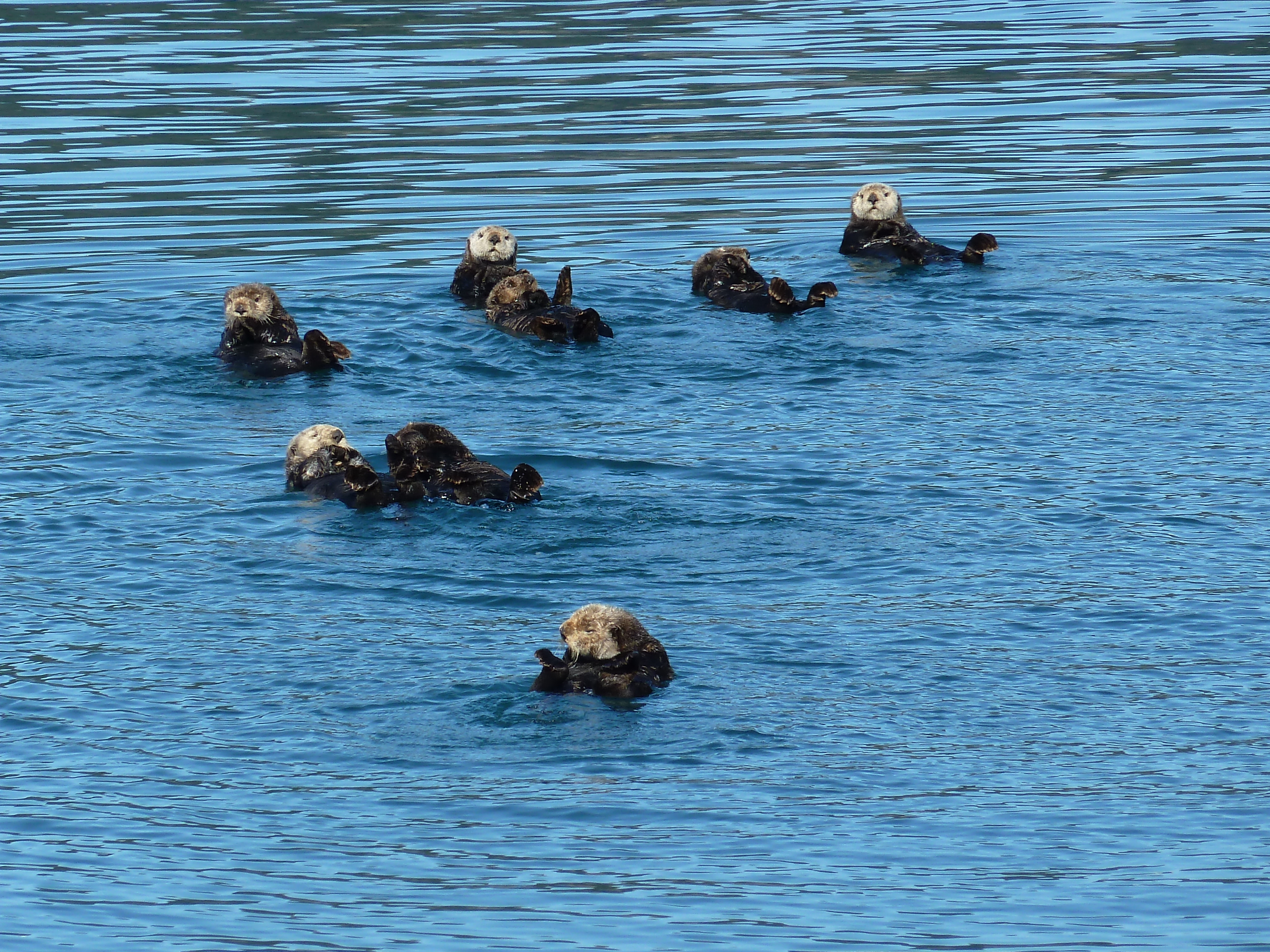 Sea otters floating in the water