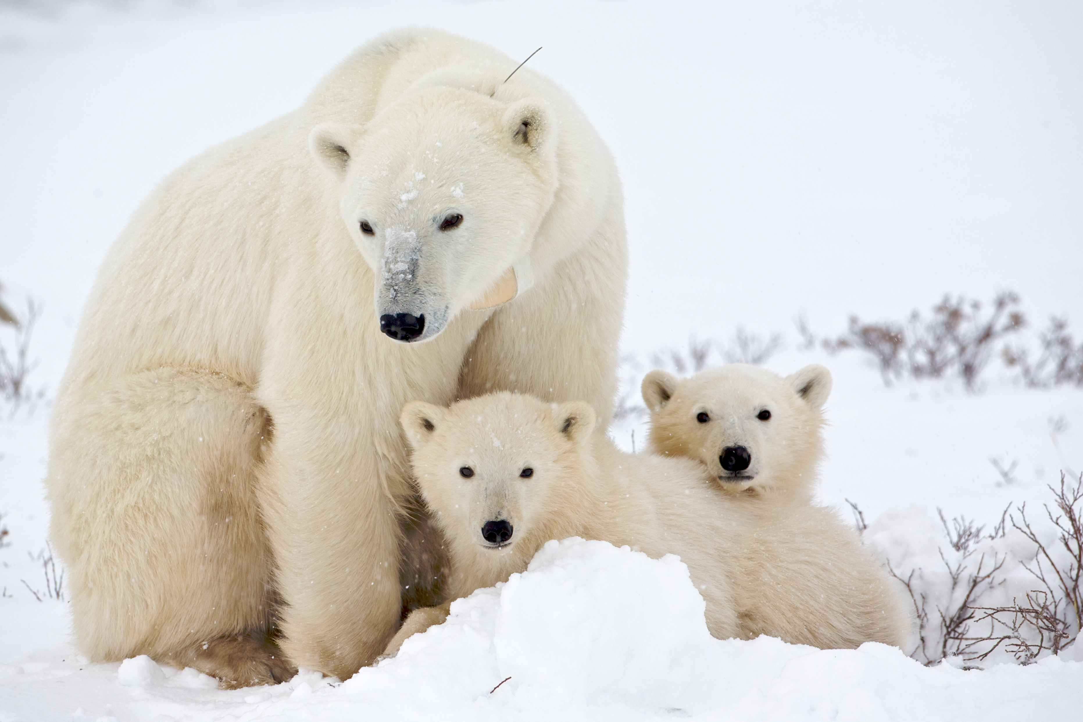 Polar Bear family, Churchill, Manitoba