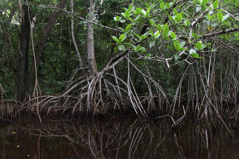Scenic Mangroves on the Bear Lake Canoe Trail Everglades National Park