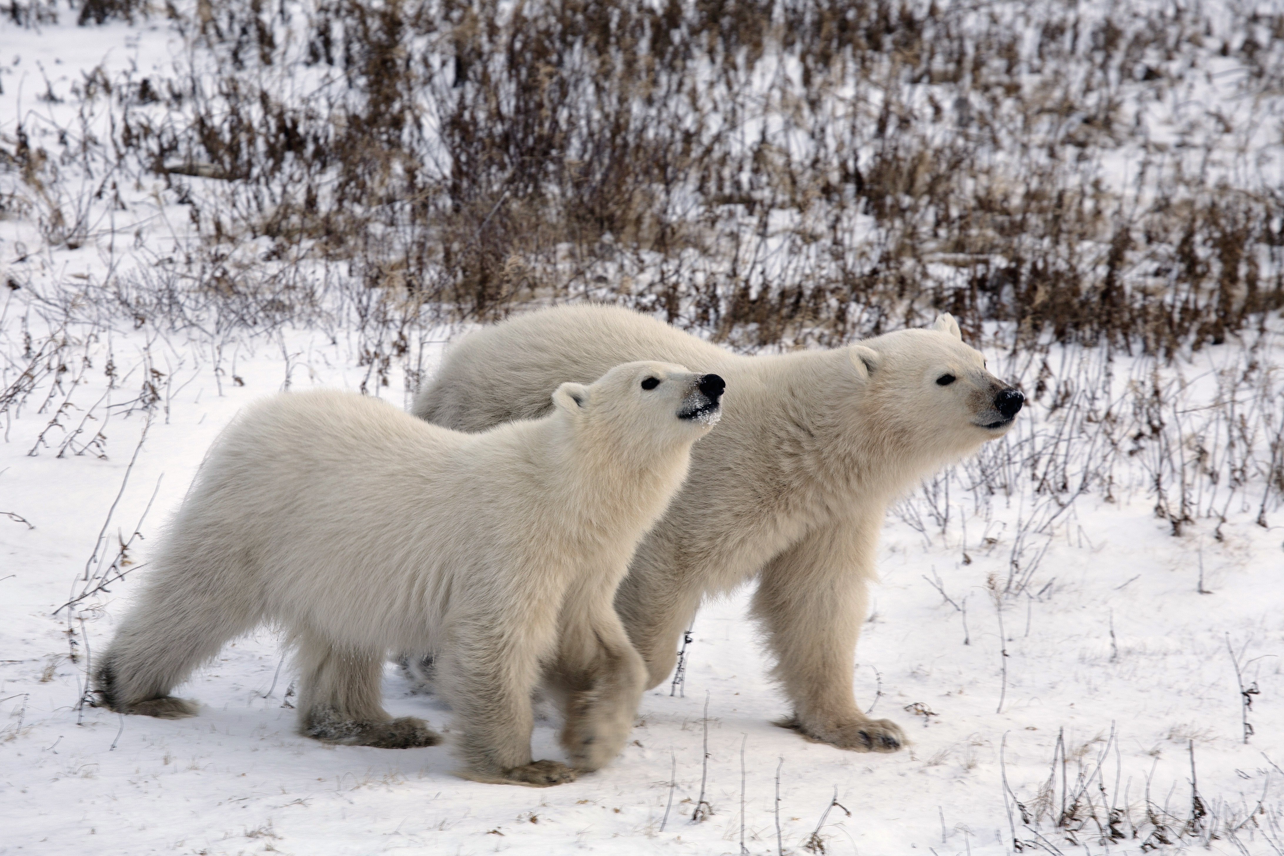 Polar Bear cubs, on the tundra, Churchill, Manitoba, Canada