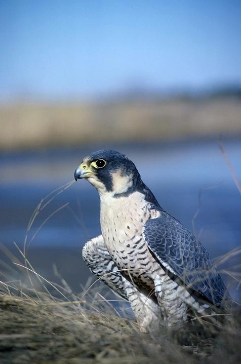 Peregrine falcon with wings outstretched