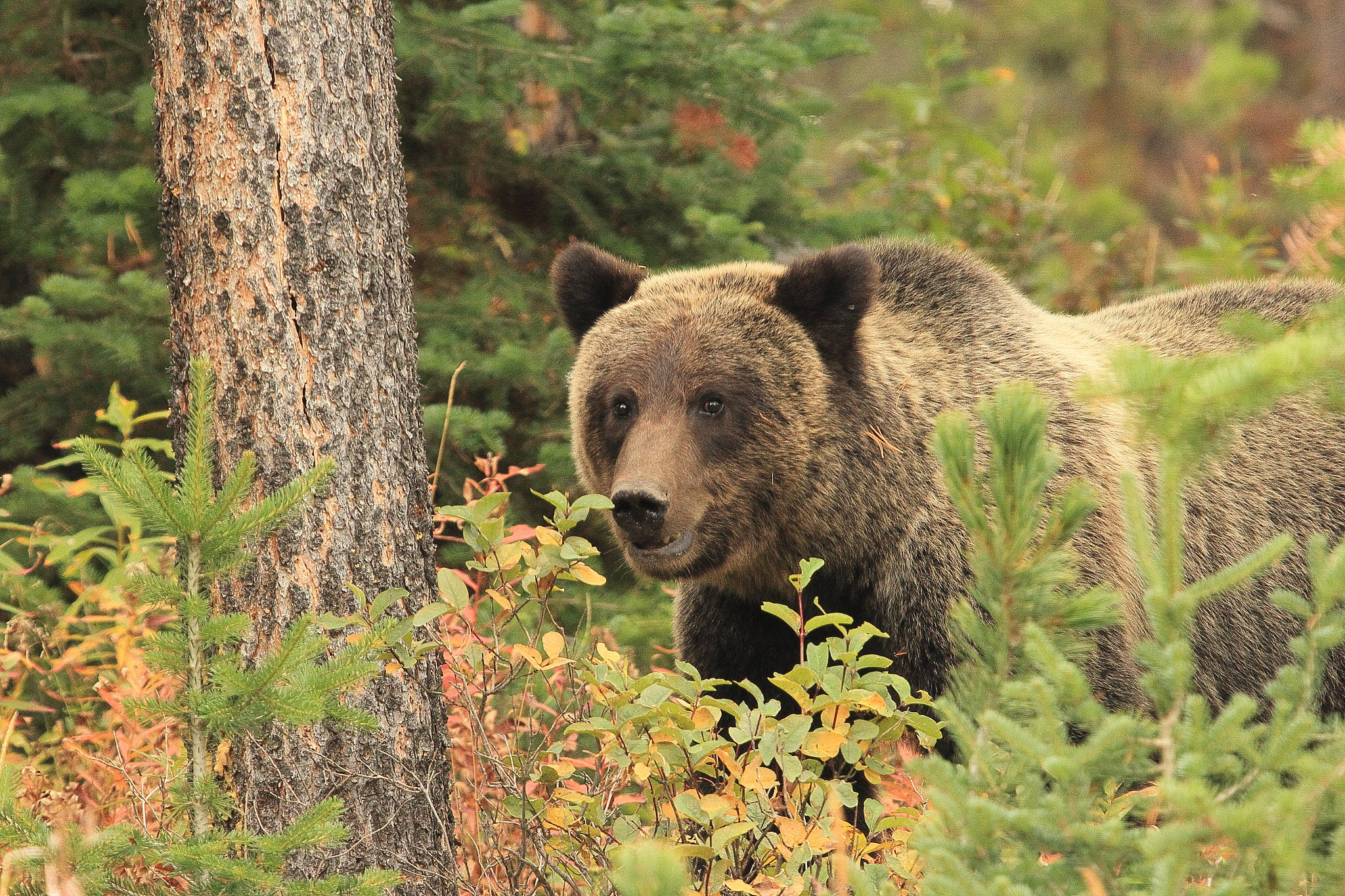 Grizzly Bear on the Bridger-Teton National Forest
