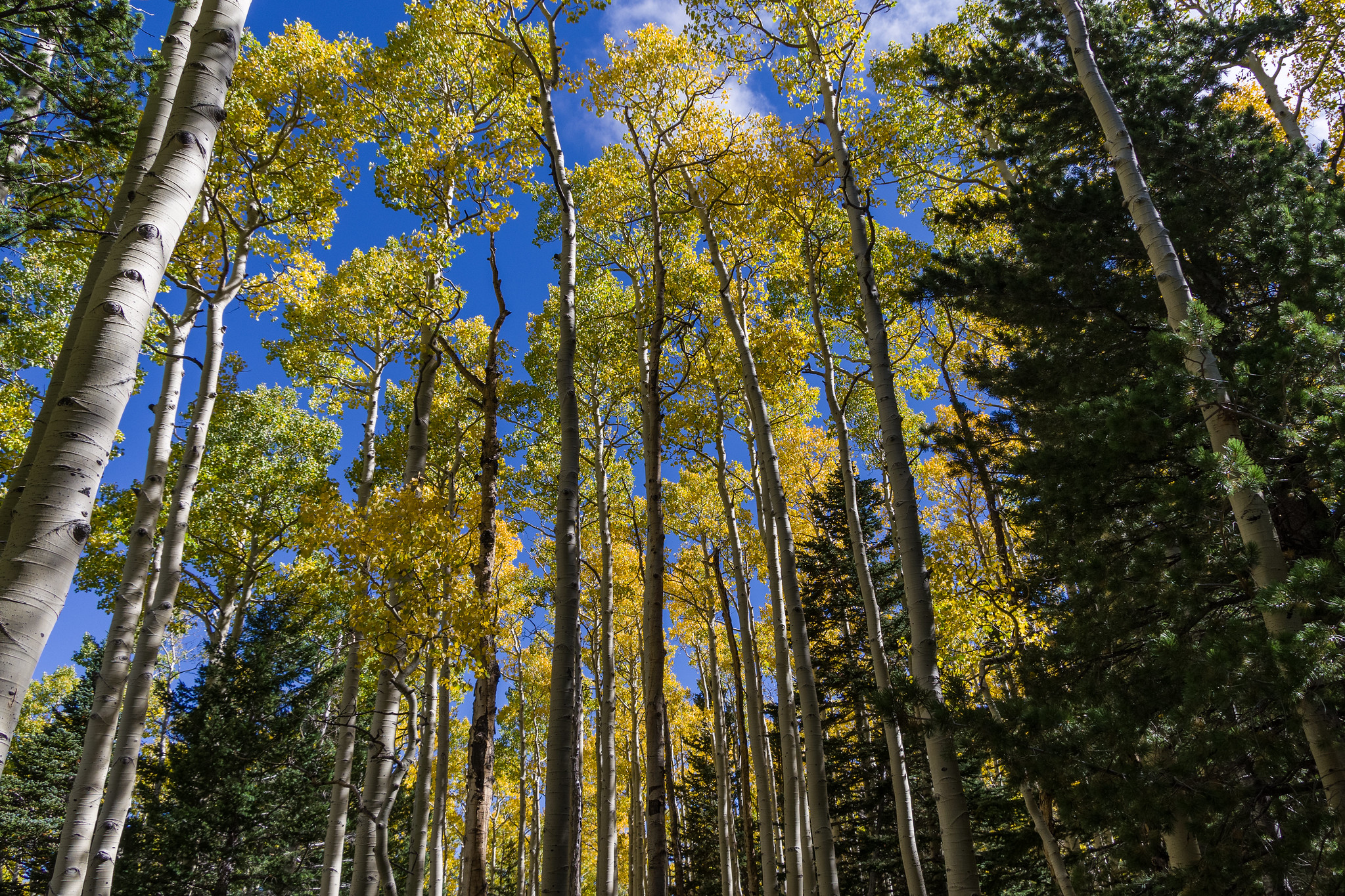 Fall color September 25, 2016 in the upper end of Bear Jaw Canyon, Bear Jaw Trail Coconino National Forest