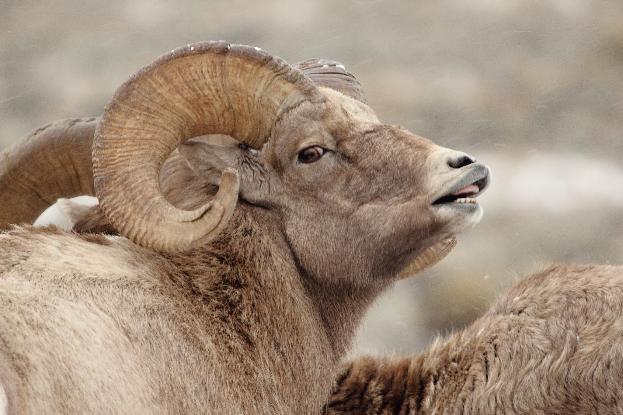 Bighorn Sheep on the Bridger-Teton National Forest