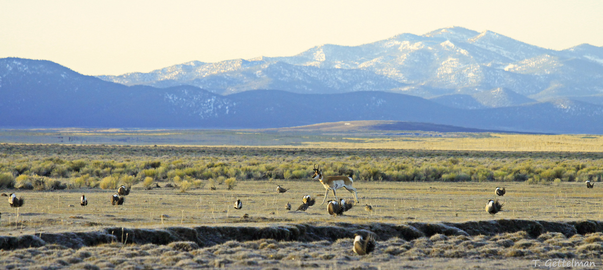 Leking Greater sage-grouse and pronghorn male, Northeastern Nevada