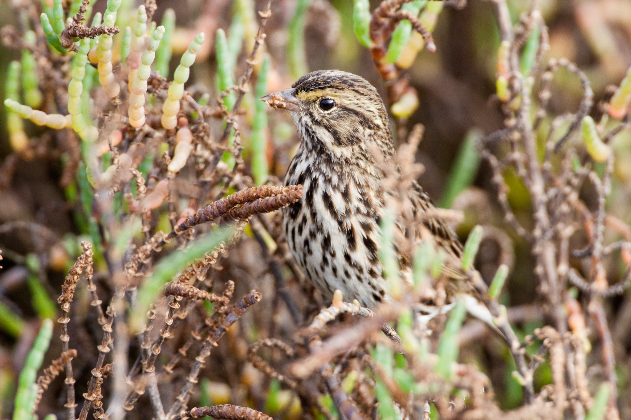 Belding's Savannah sparrow (adult)
