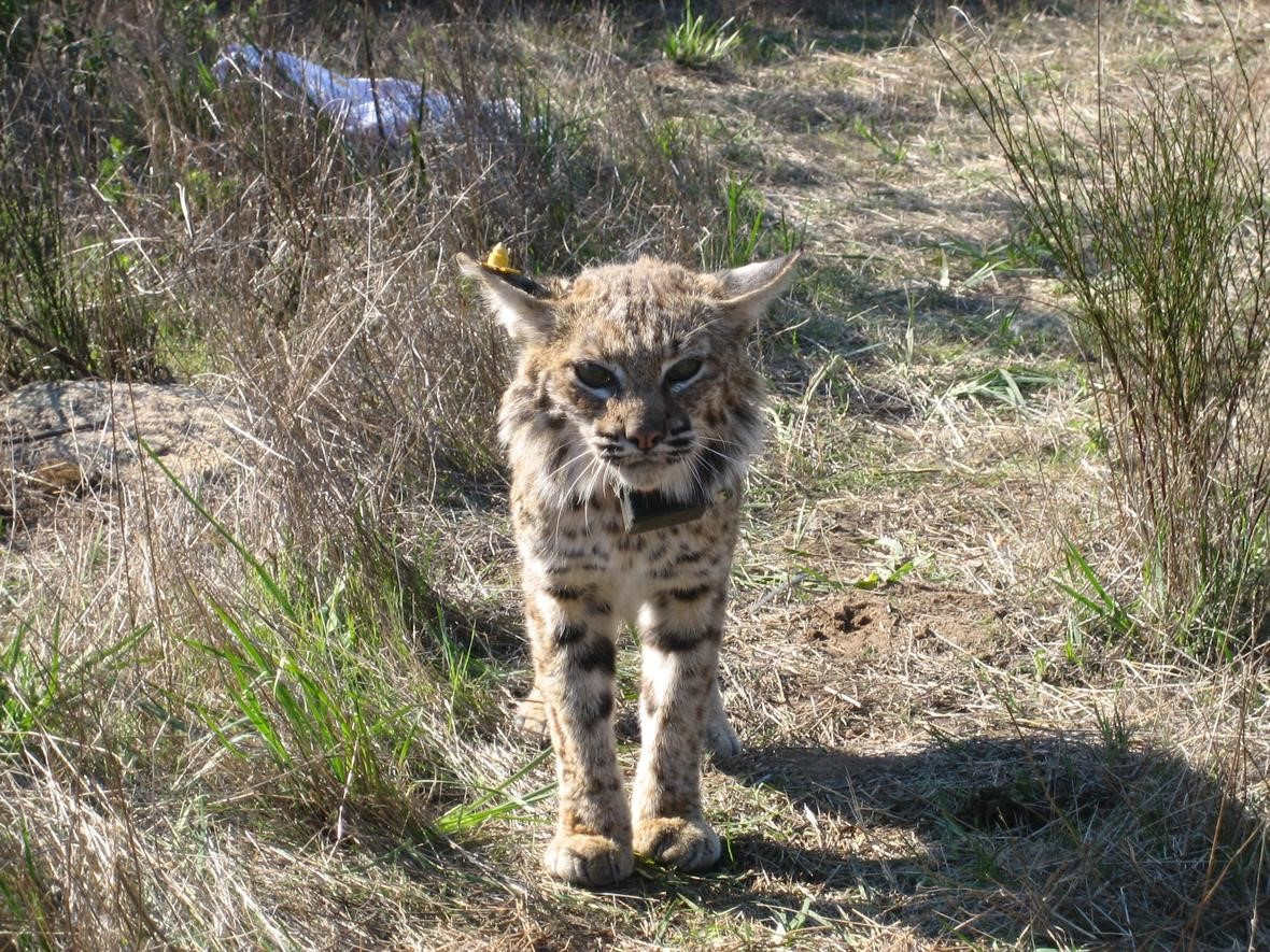 Bobcat with collar