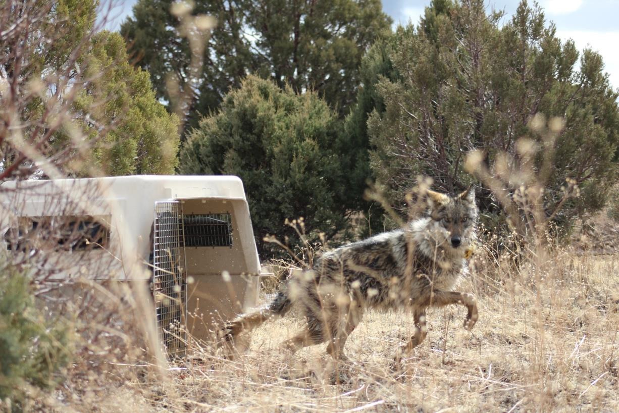 Mexican gray wolf release from crate