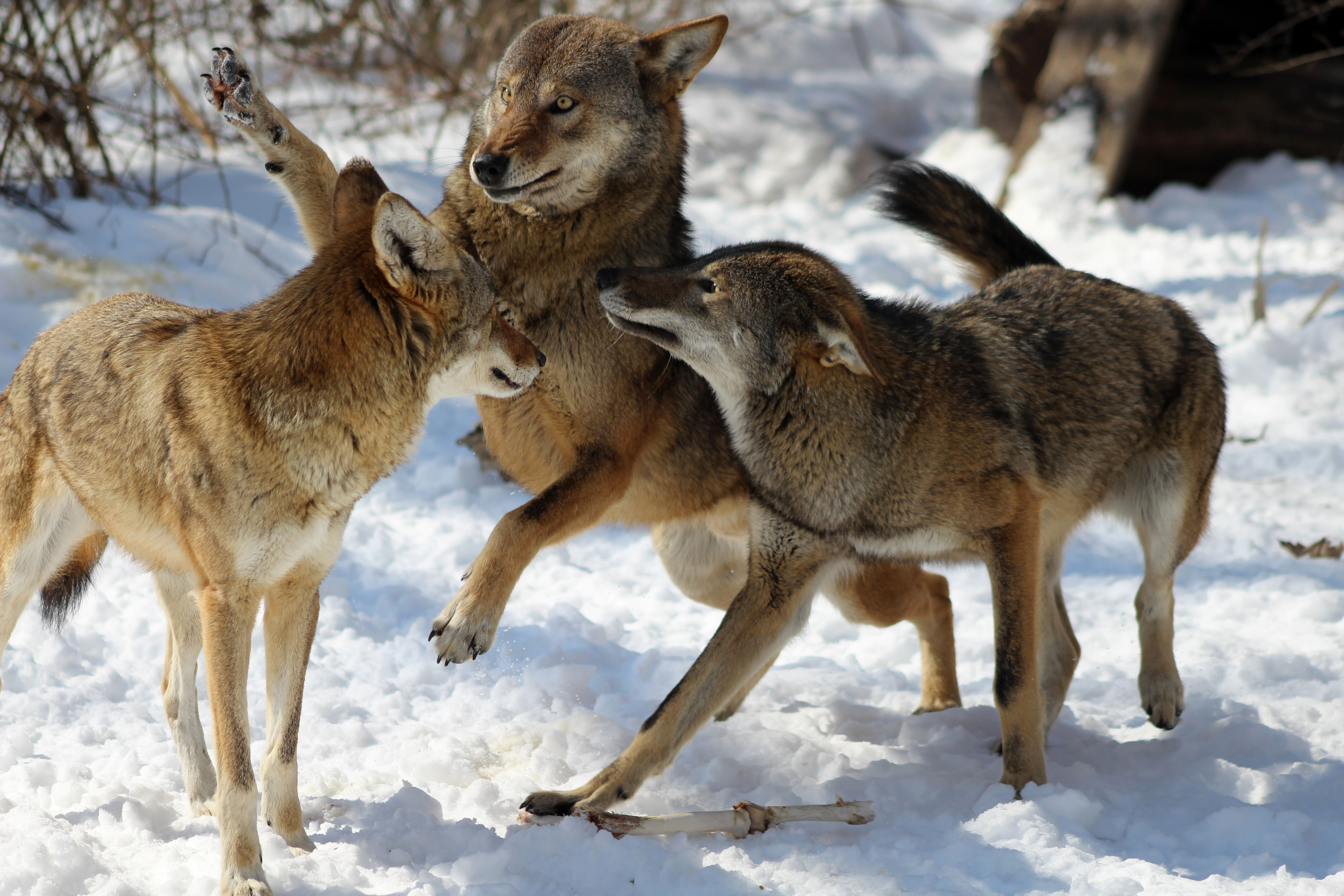 Red wolf pack playing