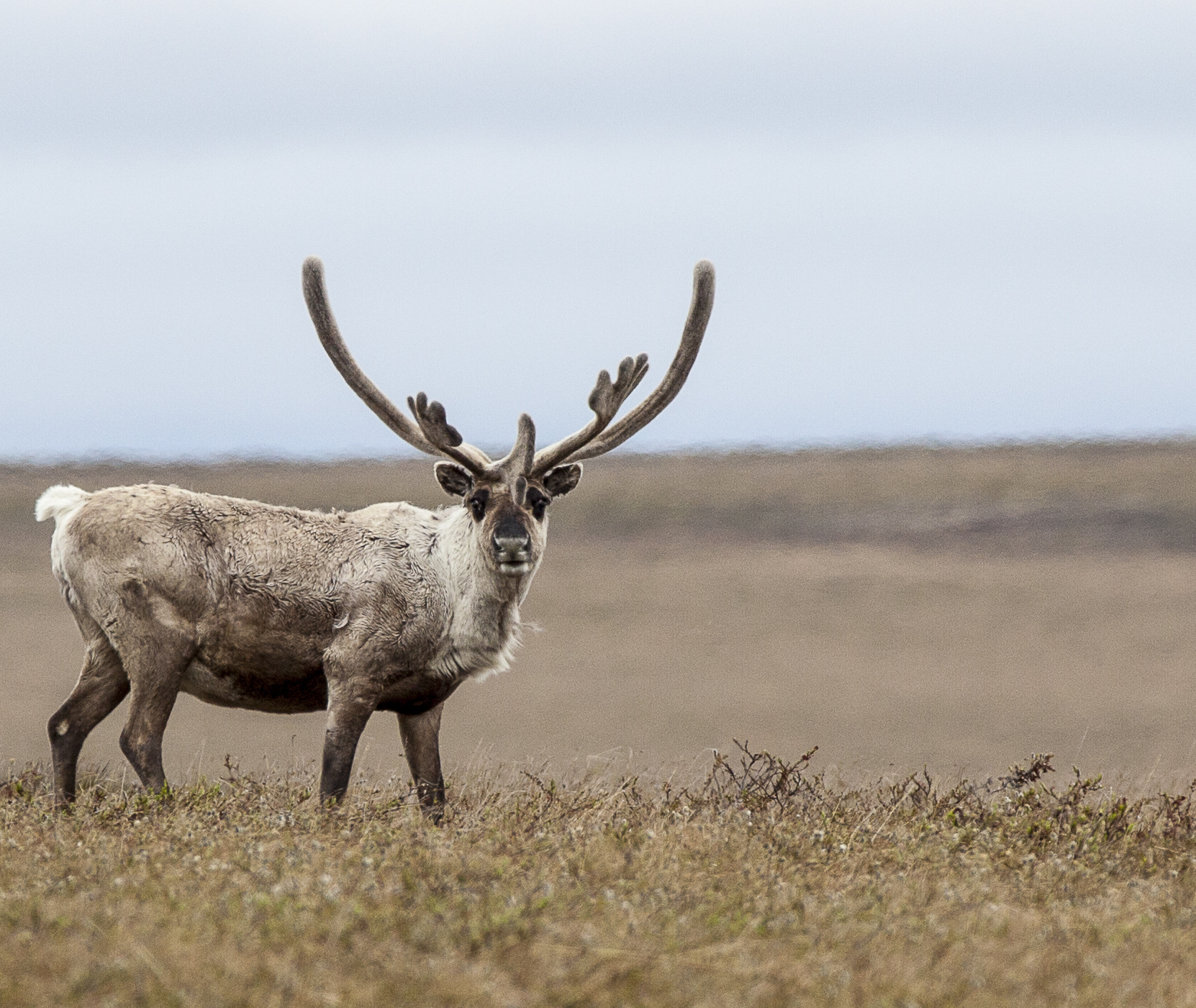 Caribou on tundra in NPR-A