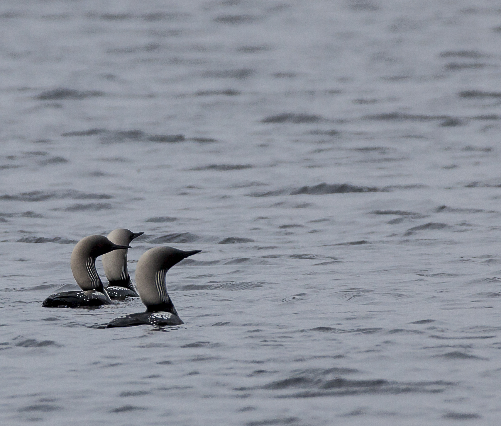Three loons in the water