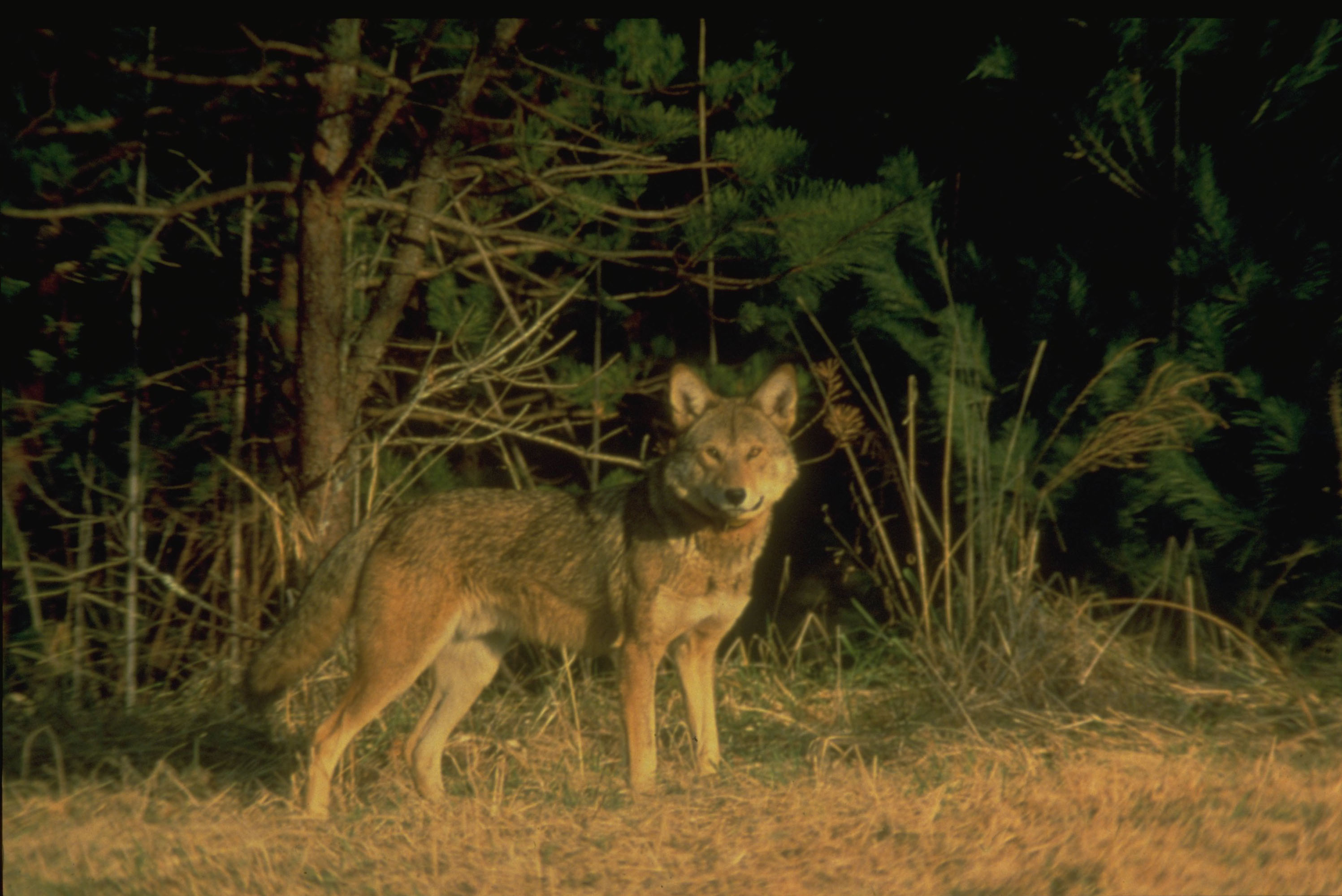 Red wolf in the Great Smoky Mountains