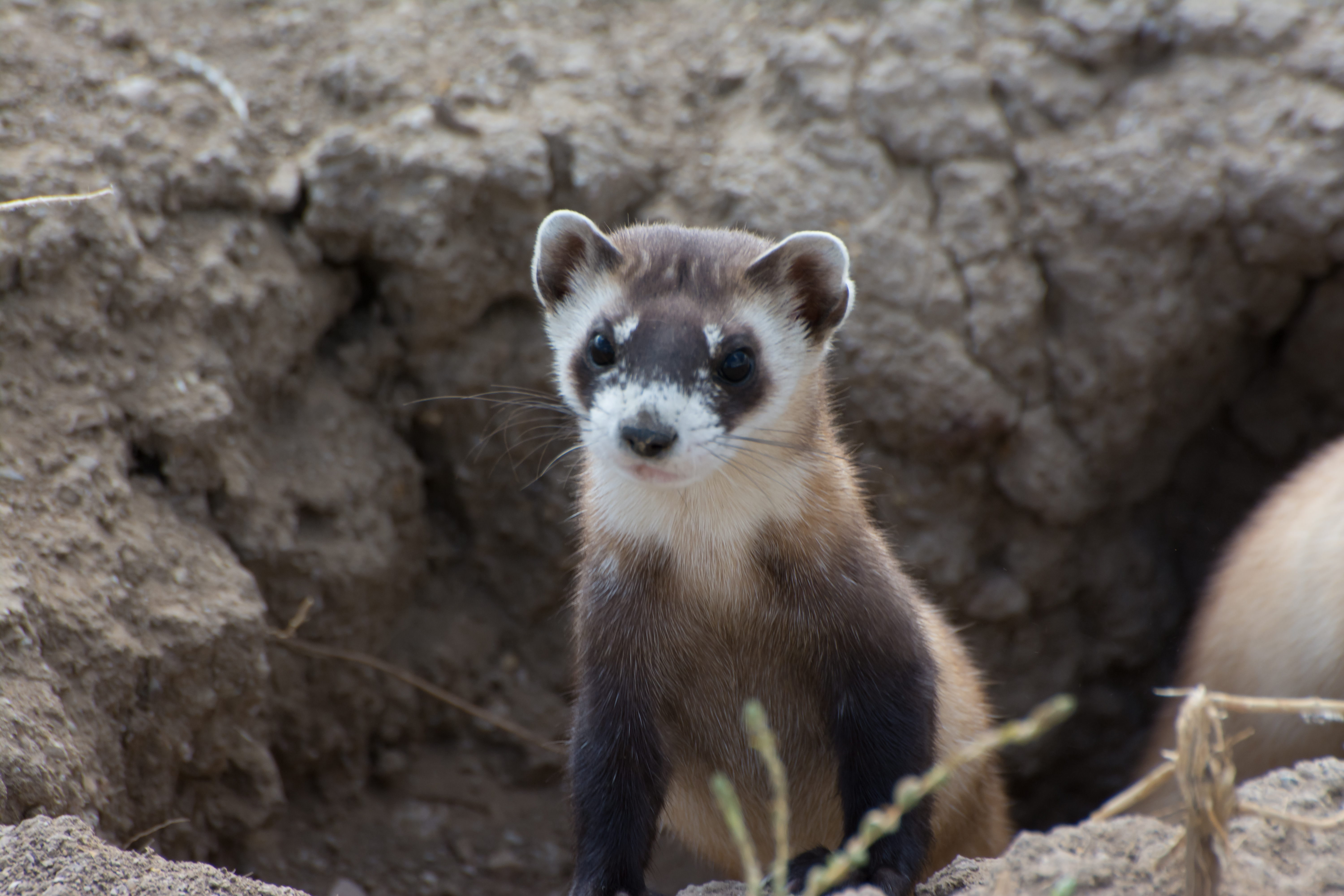 Black-footed ferret poking out of a hole