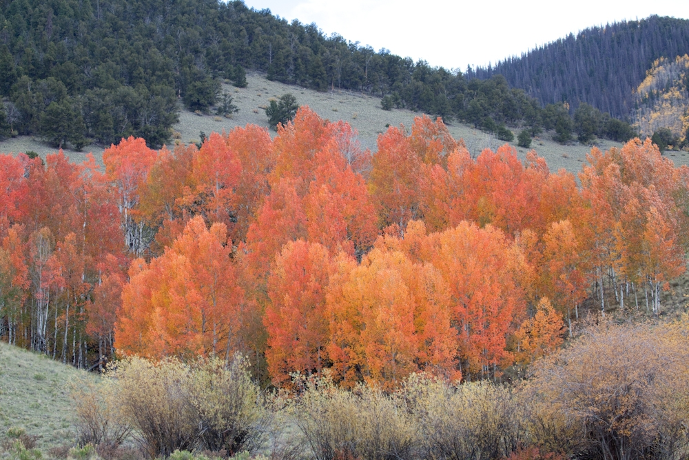 A grove of aspens burst into color near Forest Road 528 on the Rio Grande National Forest in Southern Colorado