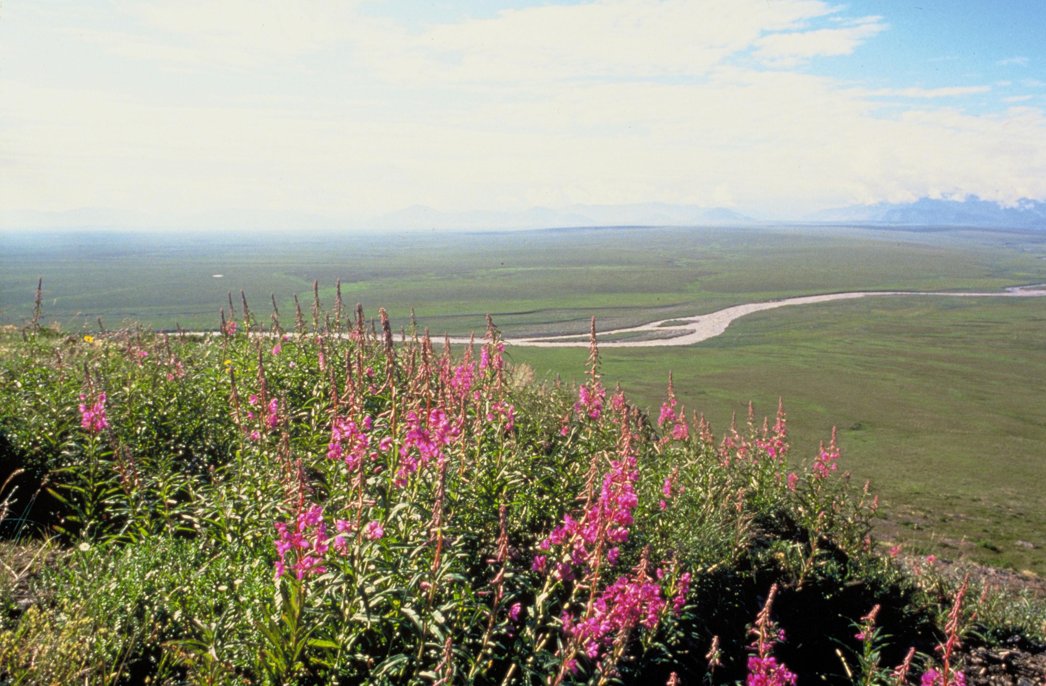 Arctic National Wildlife Refuge coastal plain wildflowers