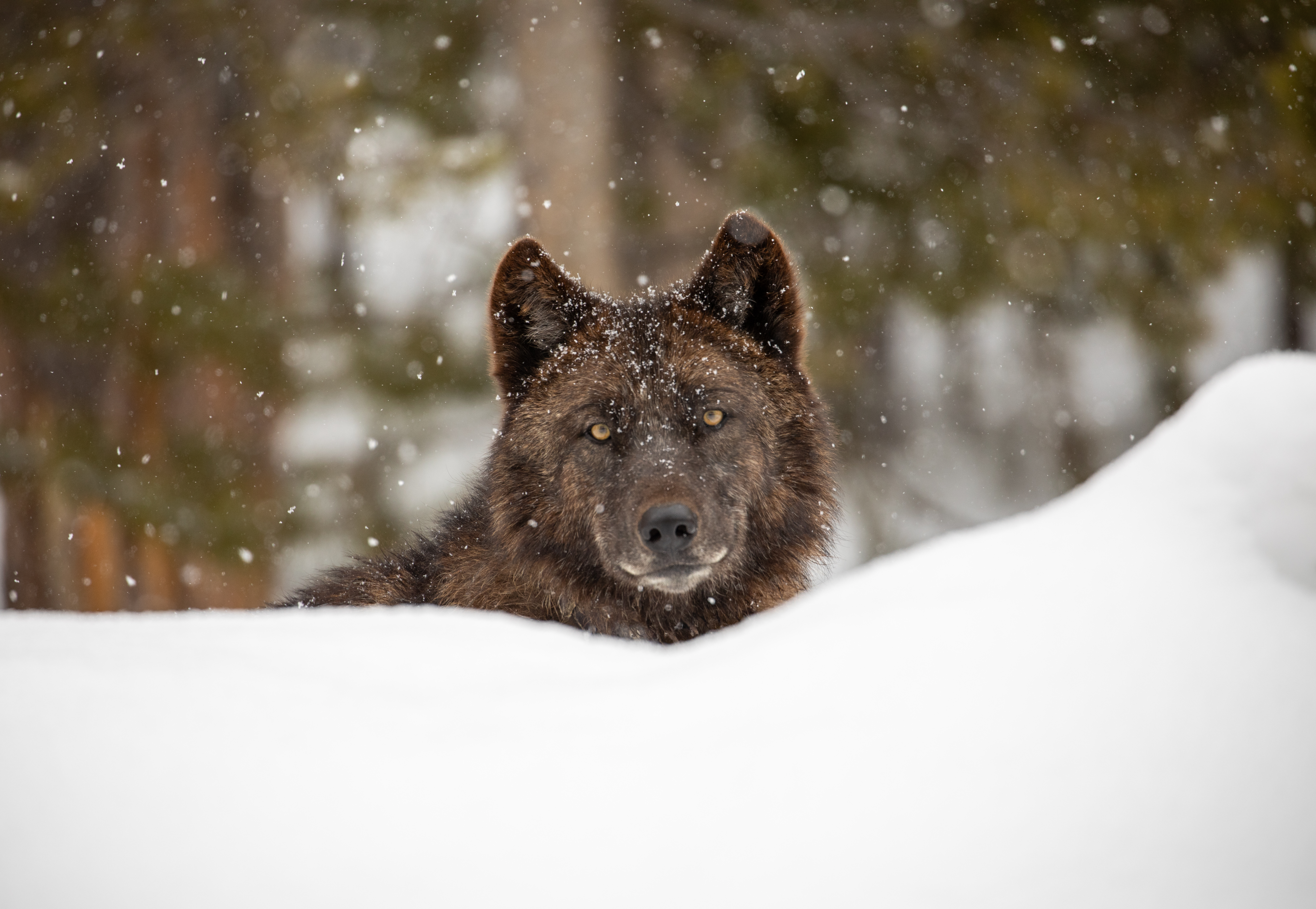 Gray wolf in snow Yellowstone National Park