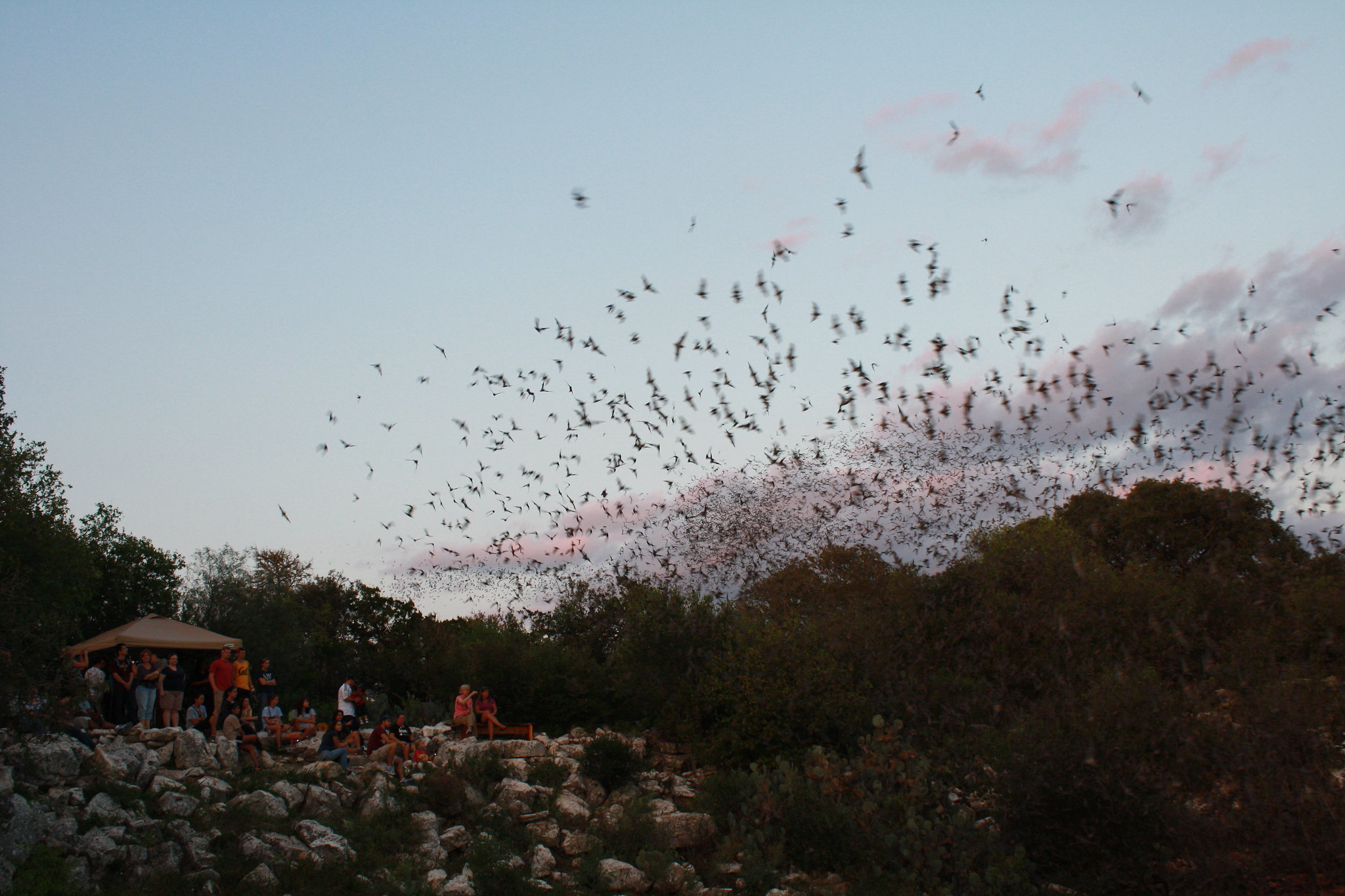Onlookers watch as Mexican free-tailed bats exiting Bracken Bat Cave