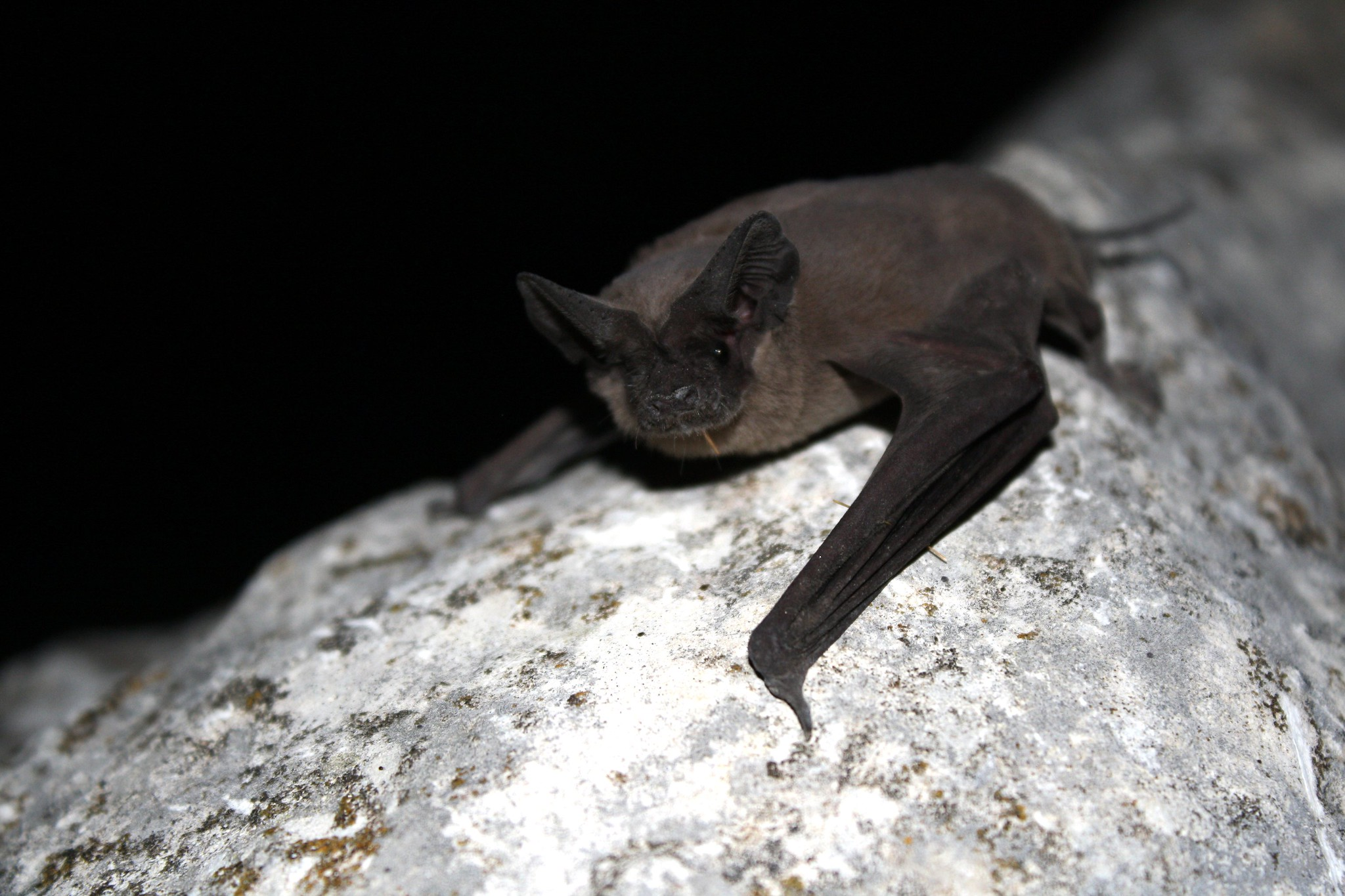 Mexican free-tailed bat (Tadaria braziliensis)