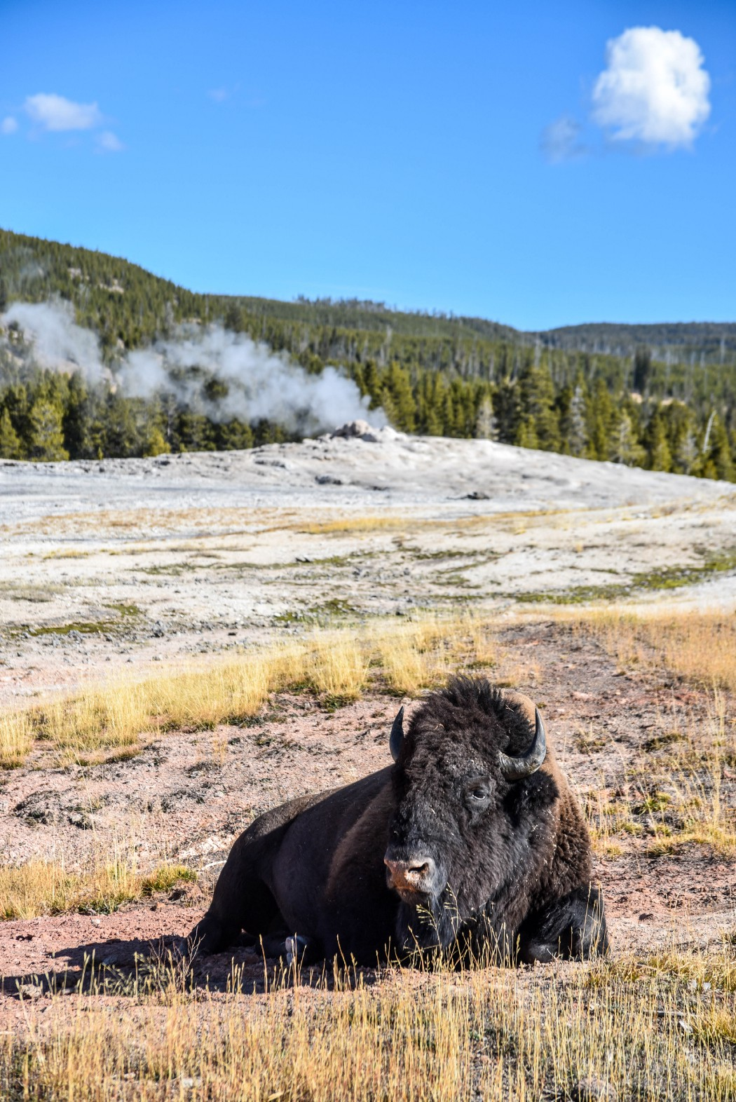 Bison laying by Old Faithful in Yellowstone National Park (ethically photographed)