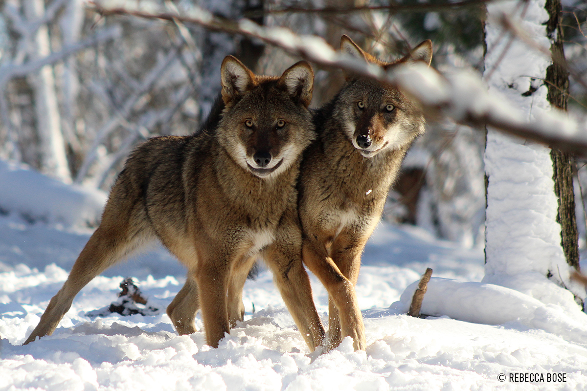 Two red wolves in snow