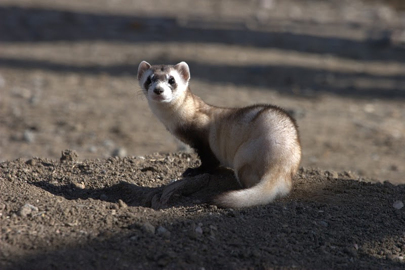 Curious black-footed ferret