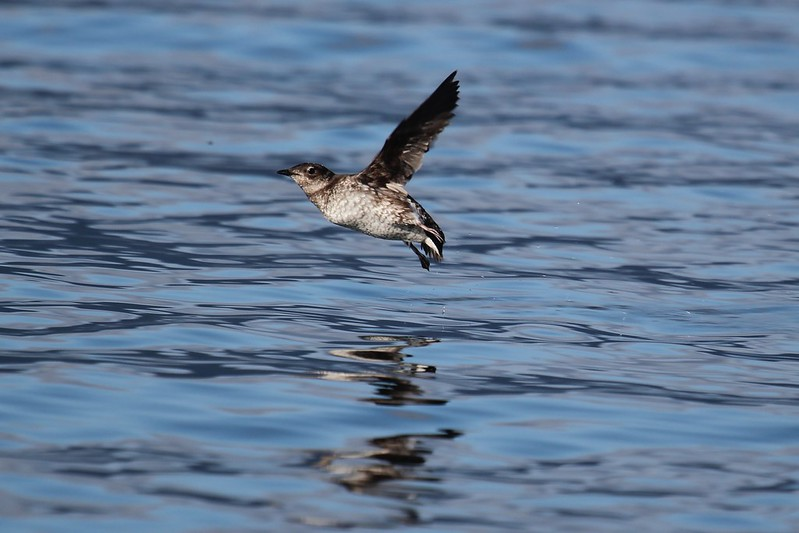 Marbled Murrelet flying over water