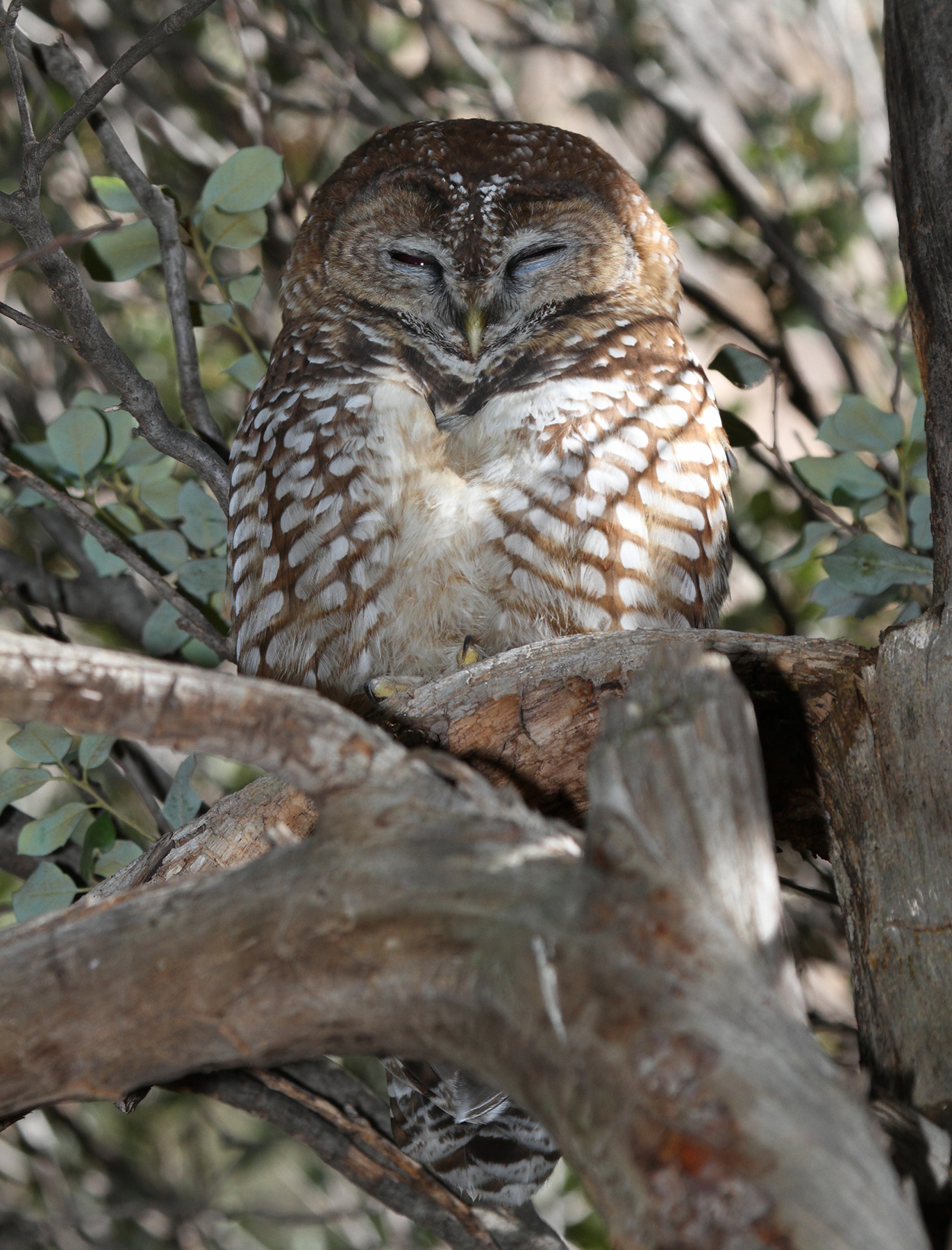 Mexican spotted owl sleeping in a tree