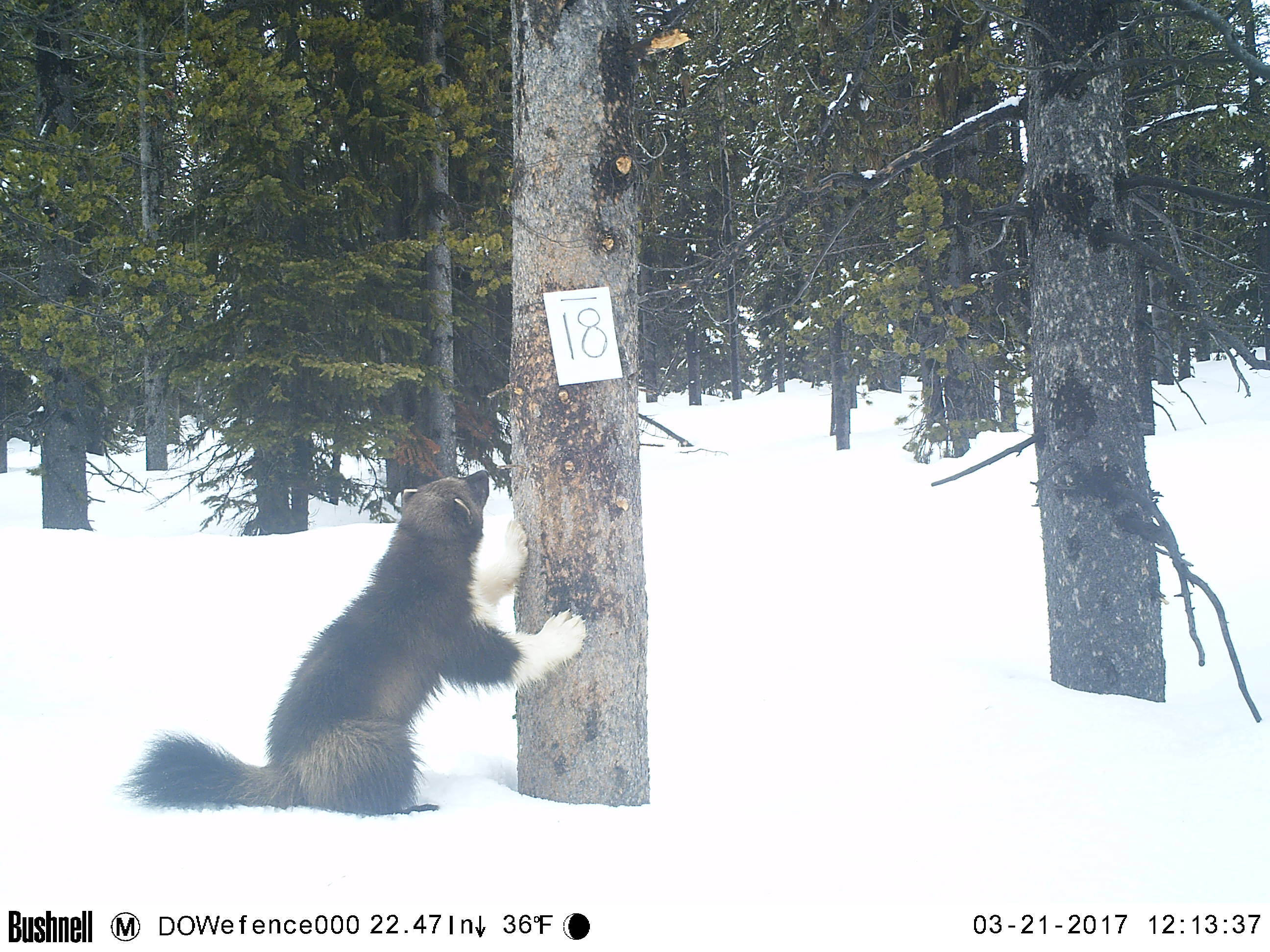 Wolverine investigating and leaning on tree on snowy ground