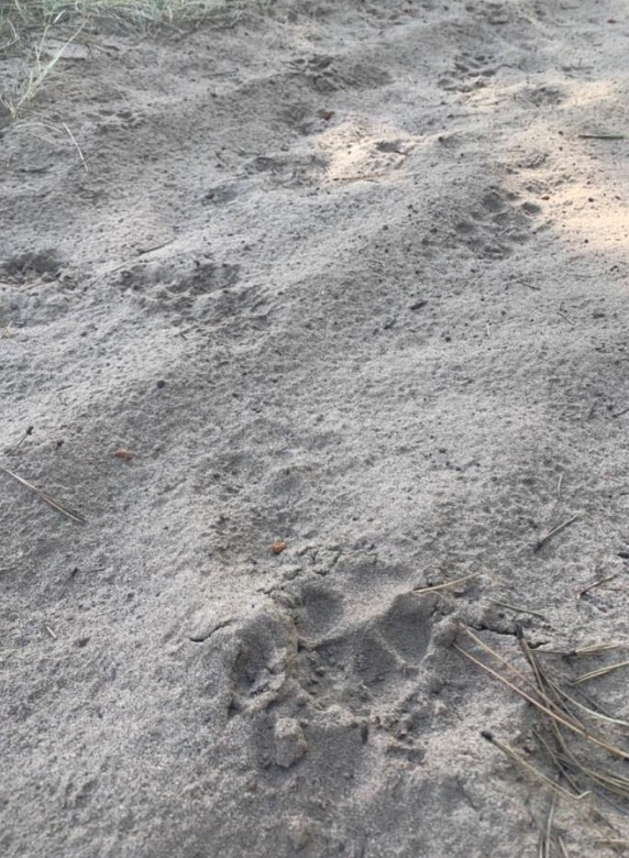 Mexican gray wolf tracks in dirt