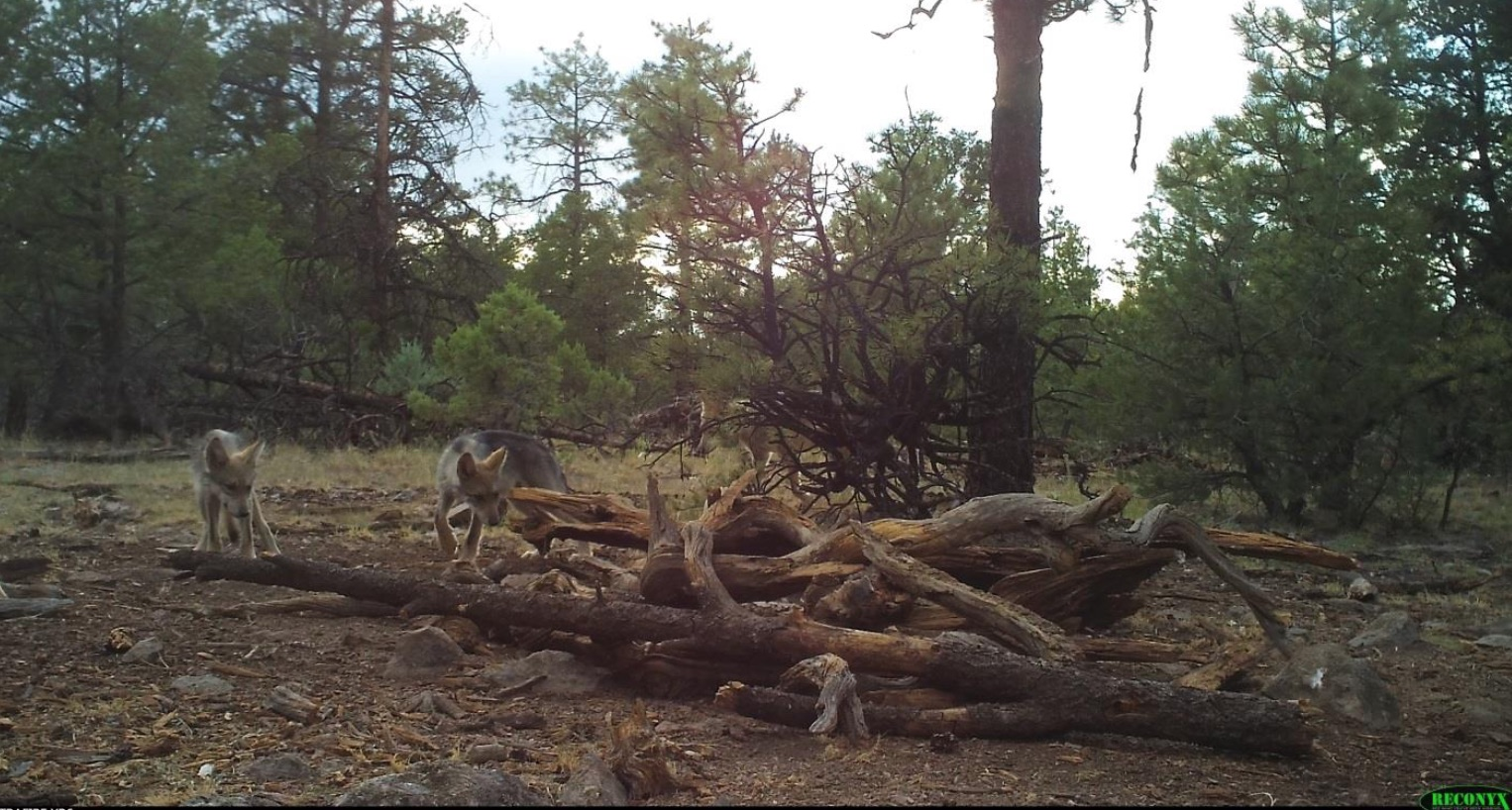 Mexican gray wolf pups on camera trap