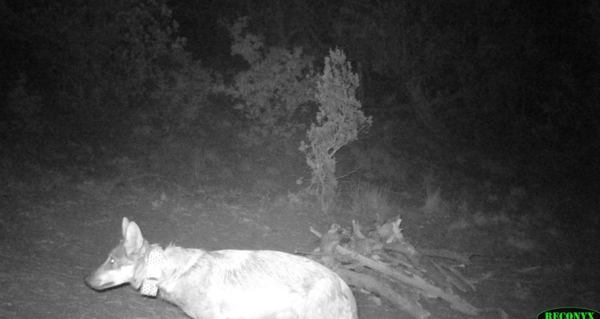 Female collared mexican gray wolf on camera