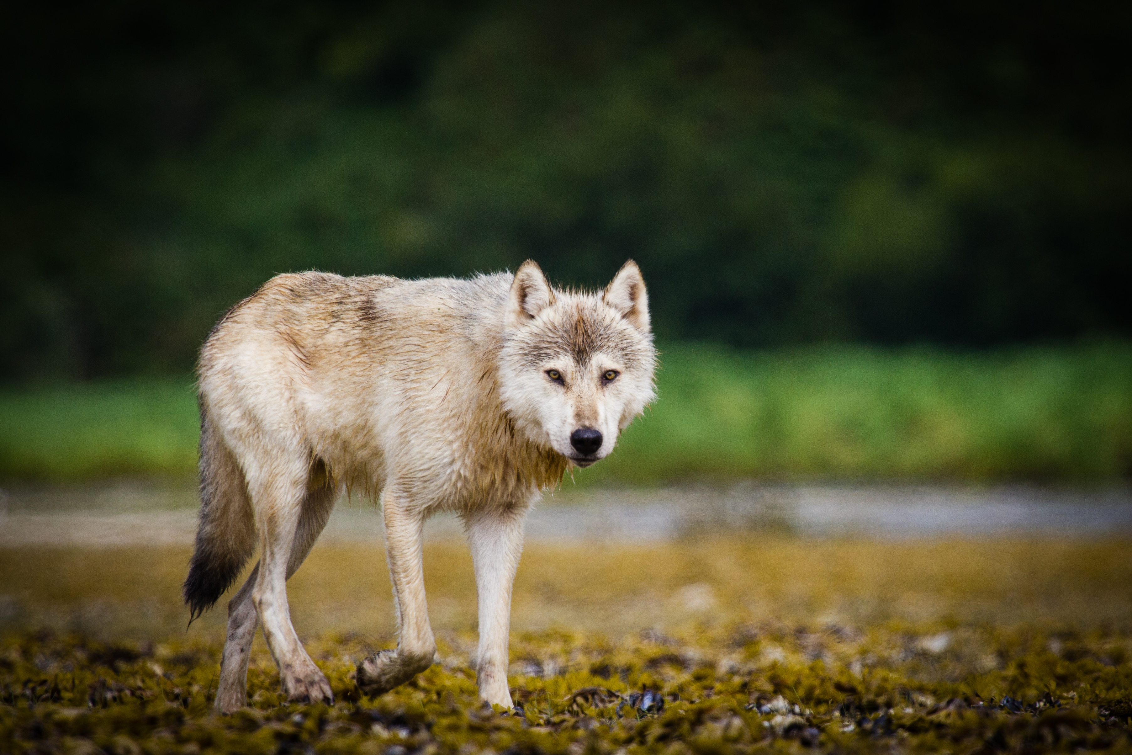 Coastal wolf in Katmai National Park and Preserve, Alaska