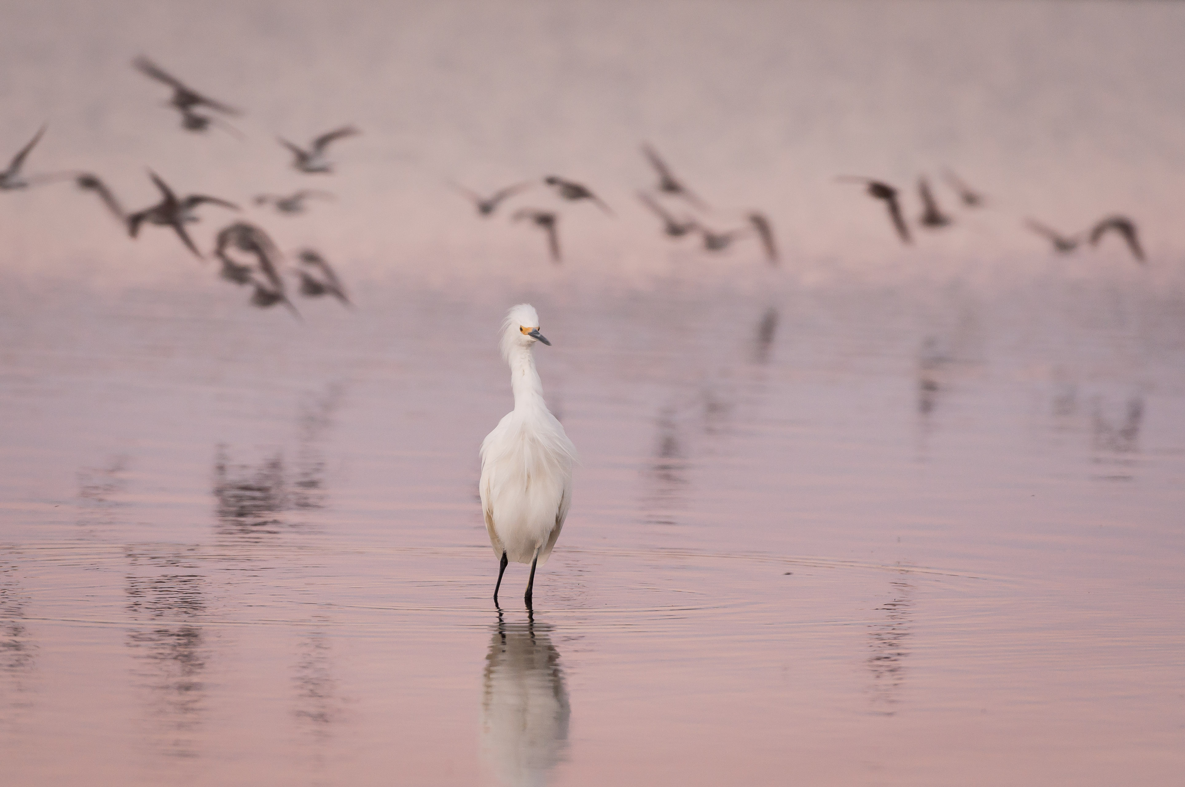Snowy Egret wading with flying birds in background