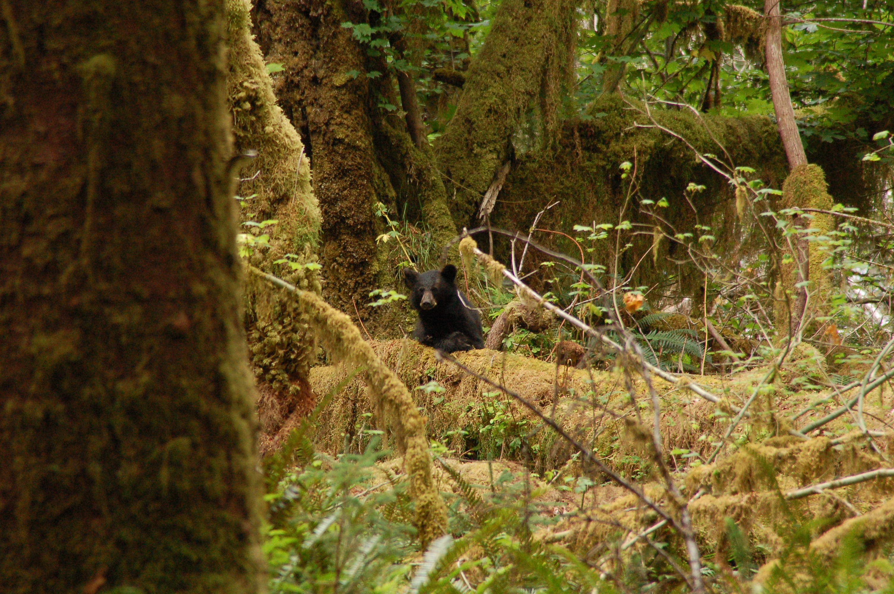 Black bear in moss covered forest