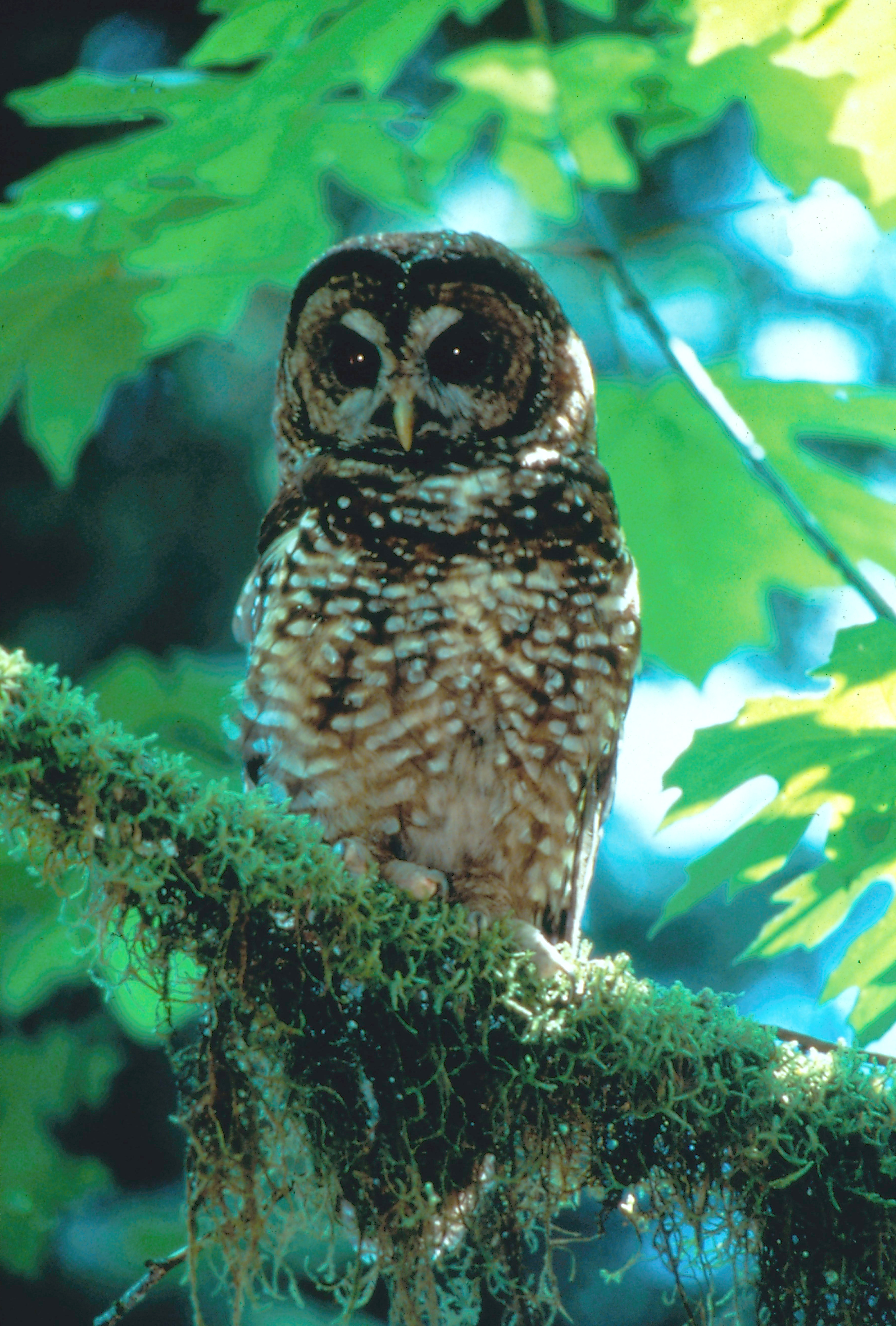 Northern spotted owl sitting on branch